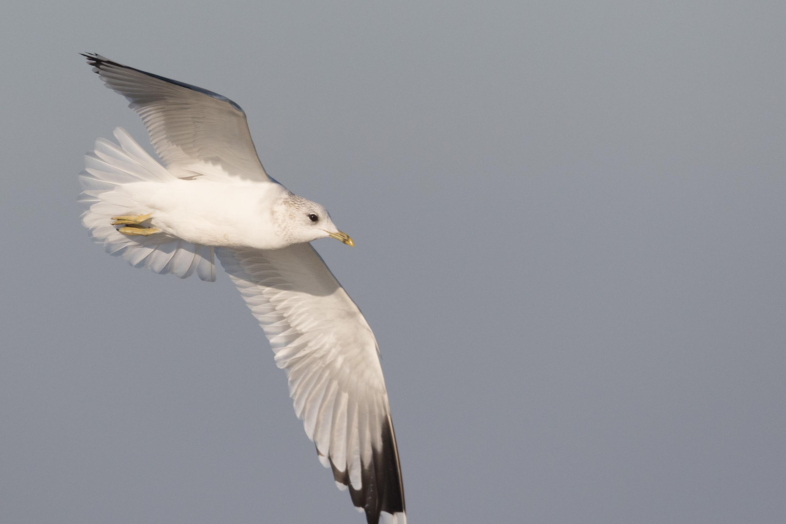 20170121-Common Gull Adult-107.jpg
