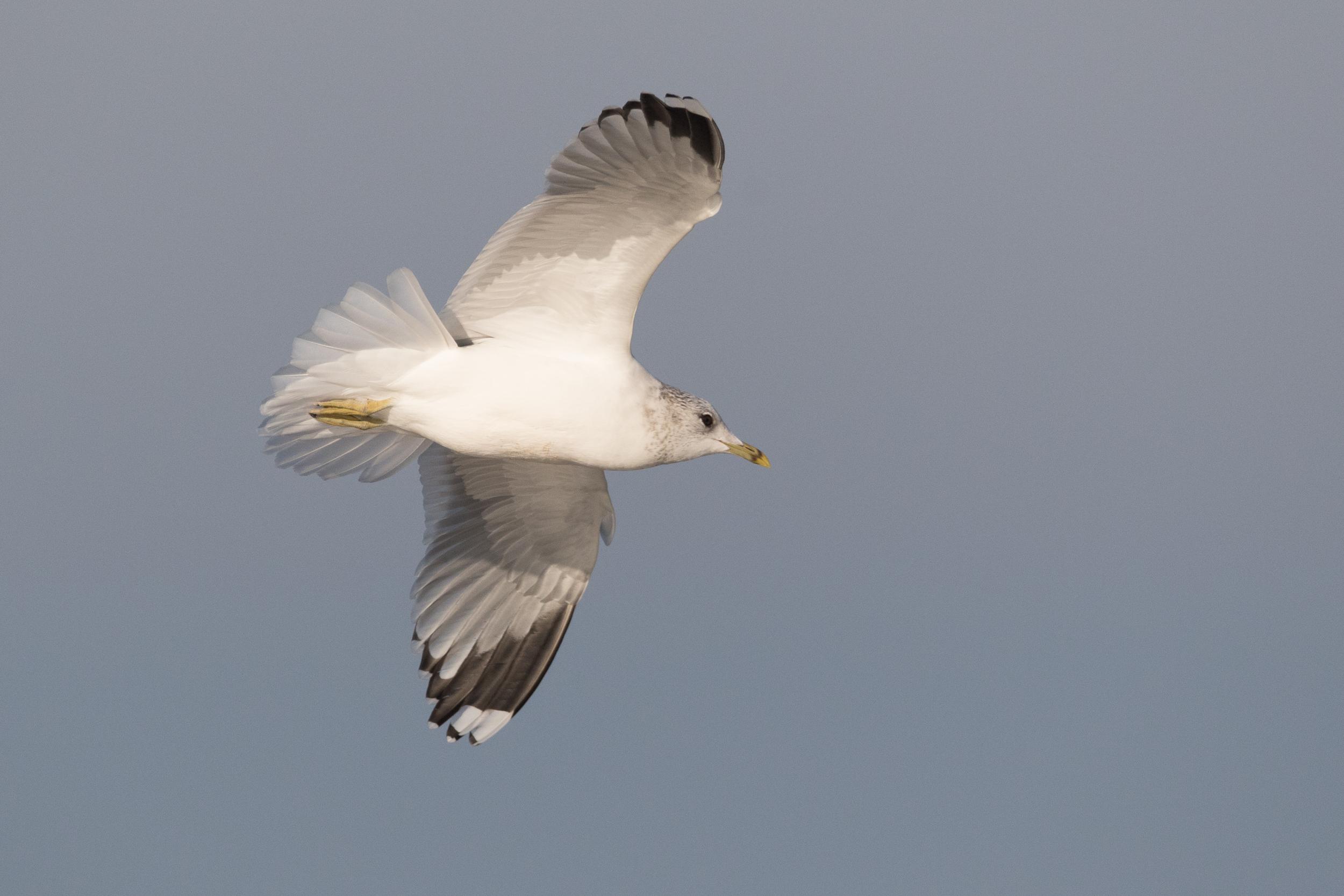 20170121-Common Gull Adult-108.jpg