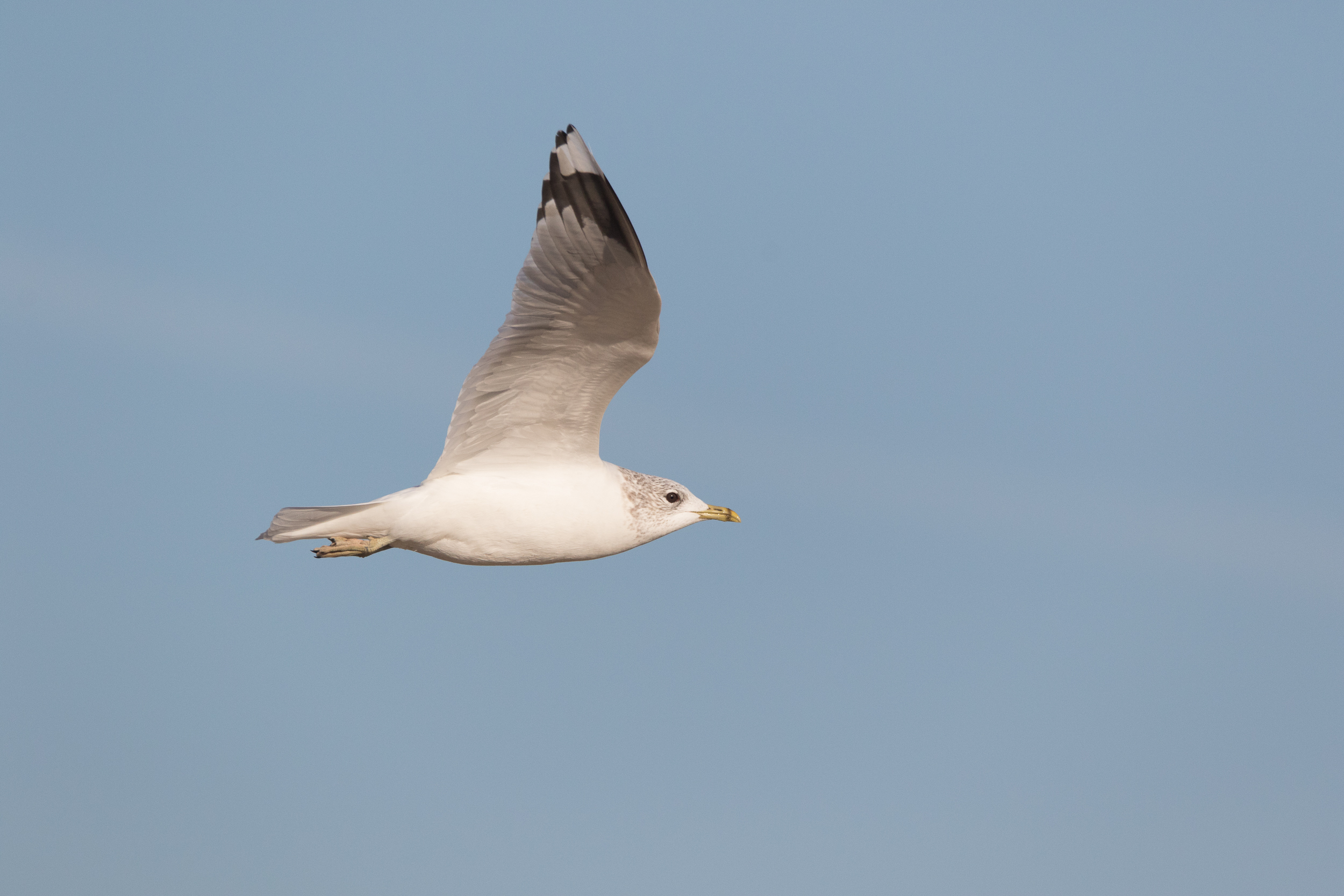 20170121-Common Gull Adult-112.jpg