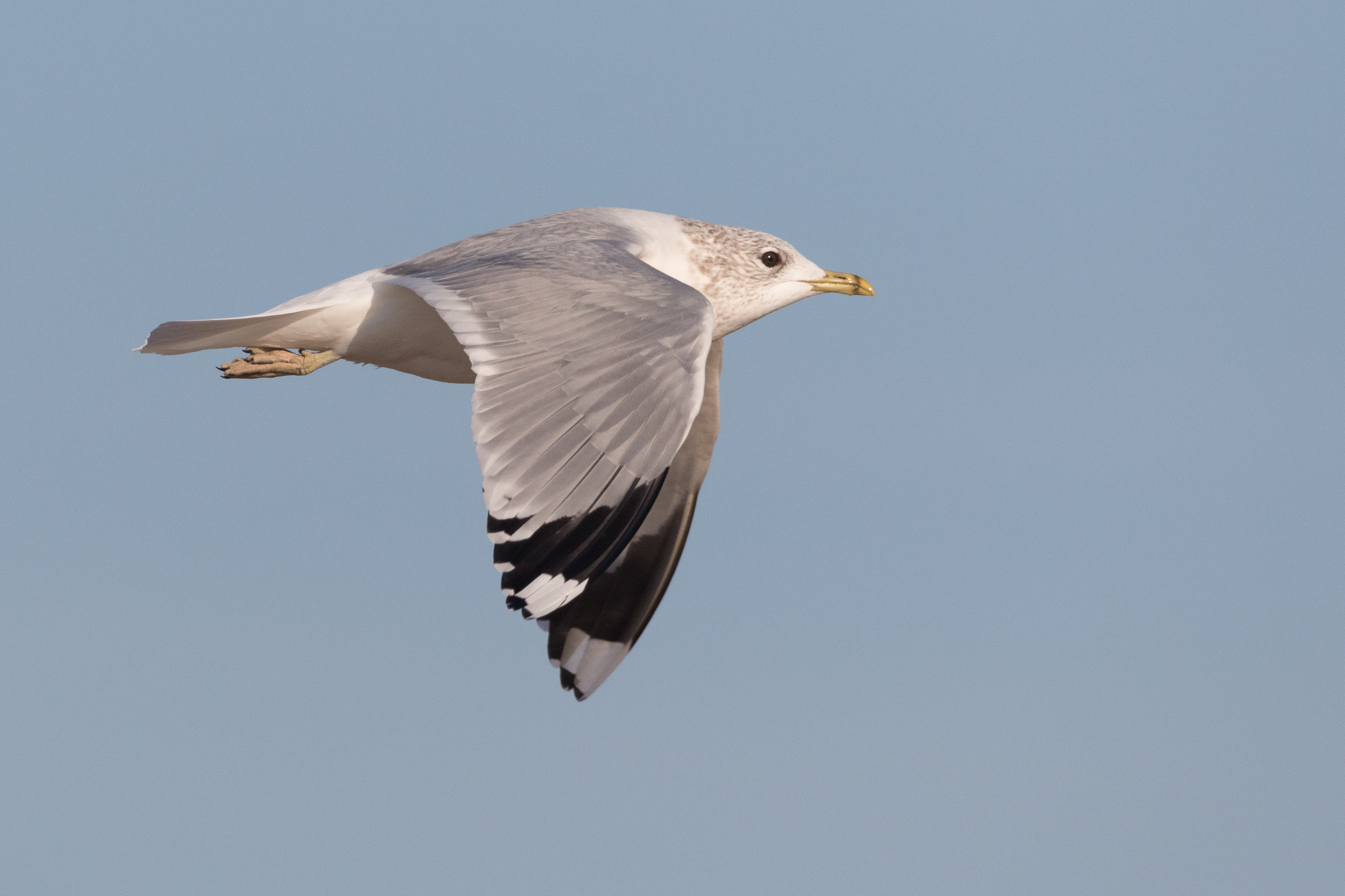 20170121-Common Gull Adult-111.jpg