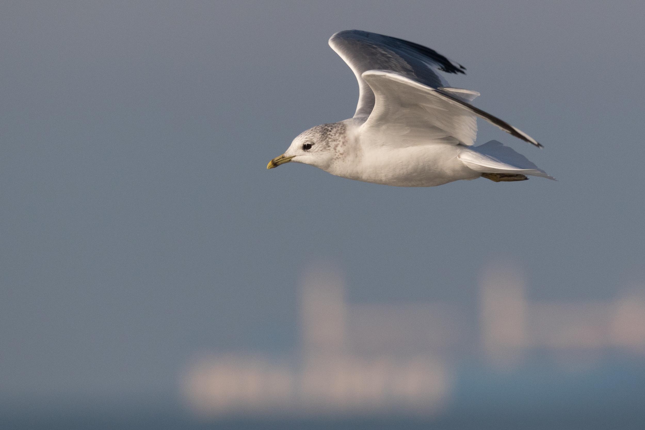 20170121-Common Gull Adult-117.jpg