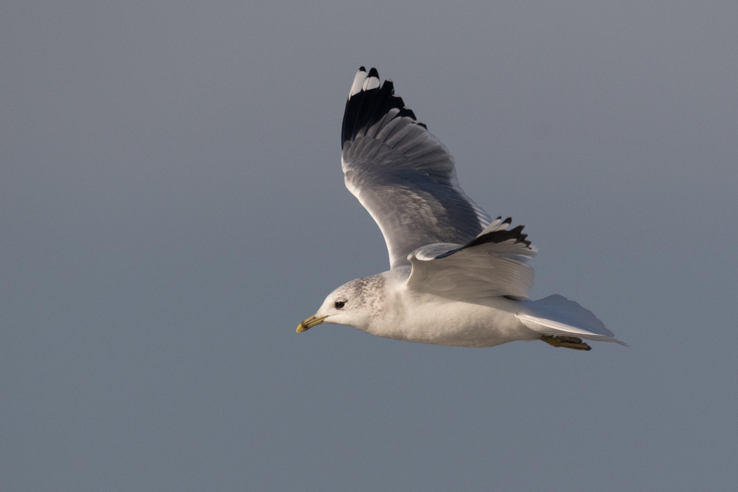 20170121-Common Gull Adult-118.jpg