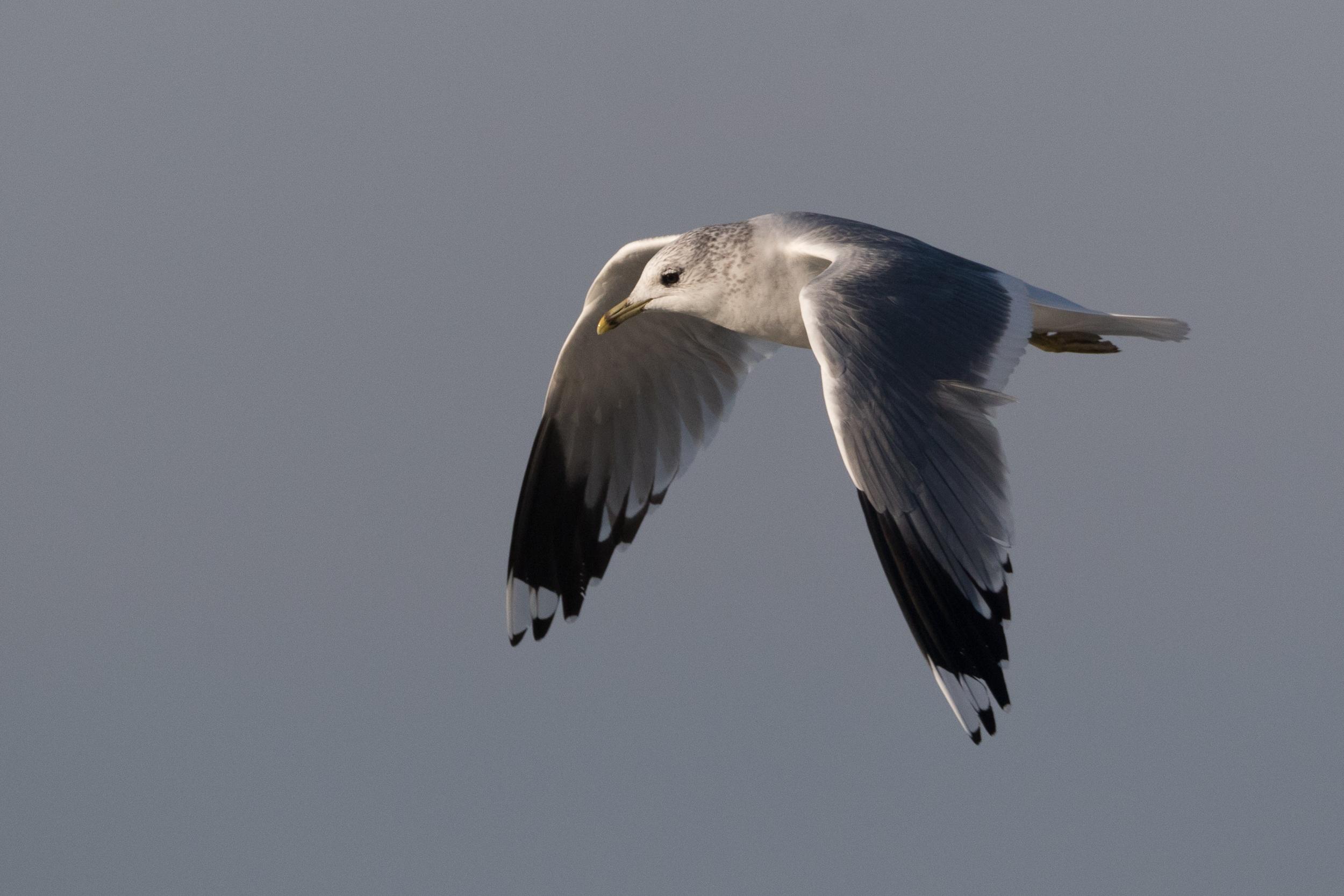 20170121-Common Gull Adult-120.jpg