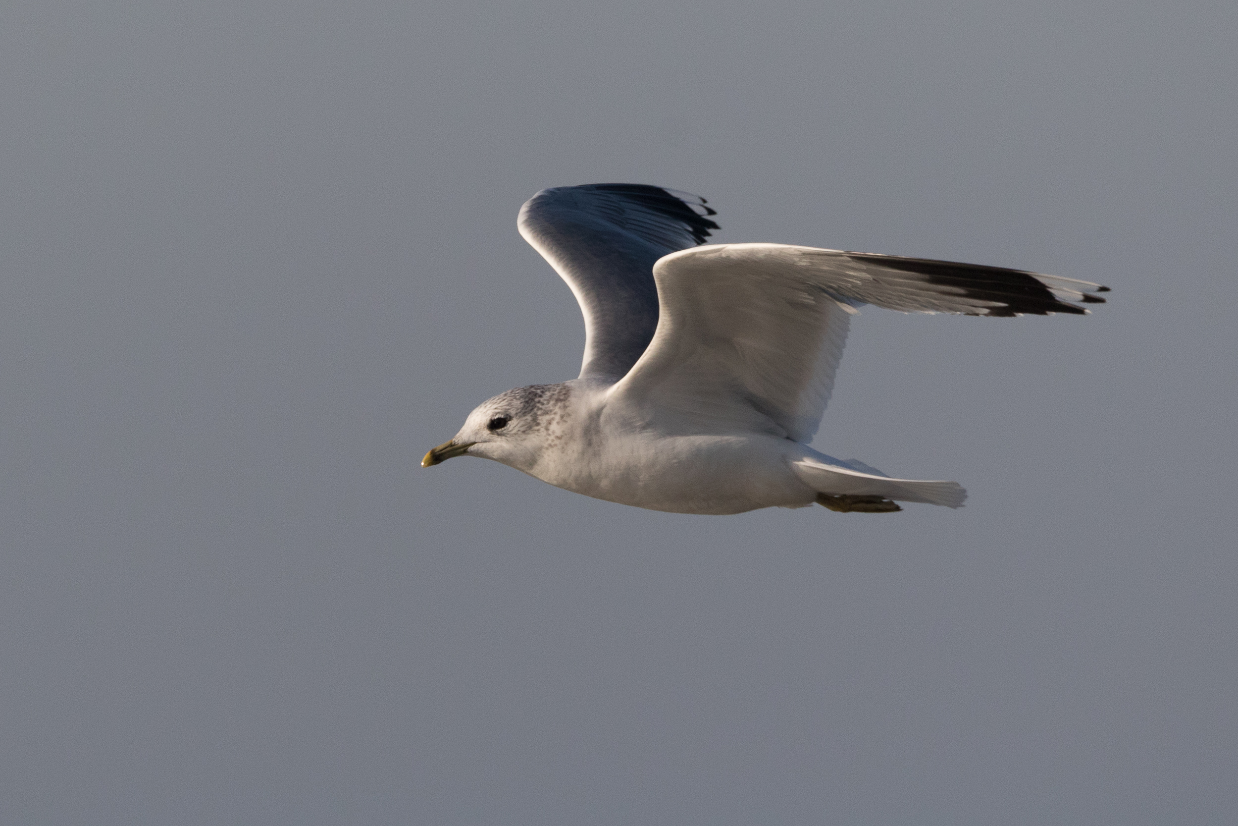 20170121-Common Gull Adult-121.jpg