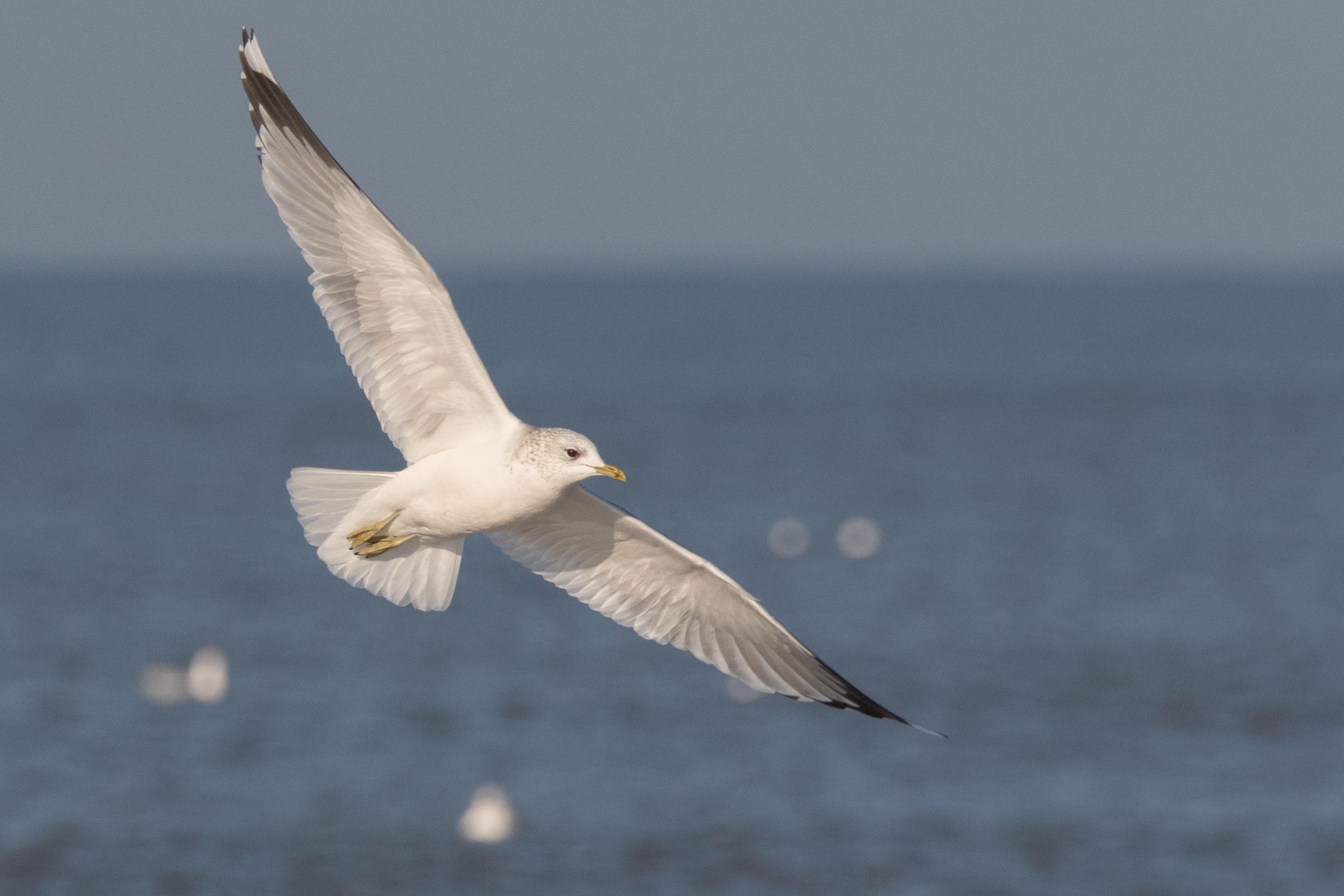 20170121-Common Gull Adult-124.jpg