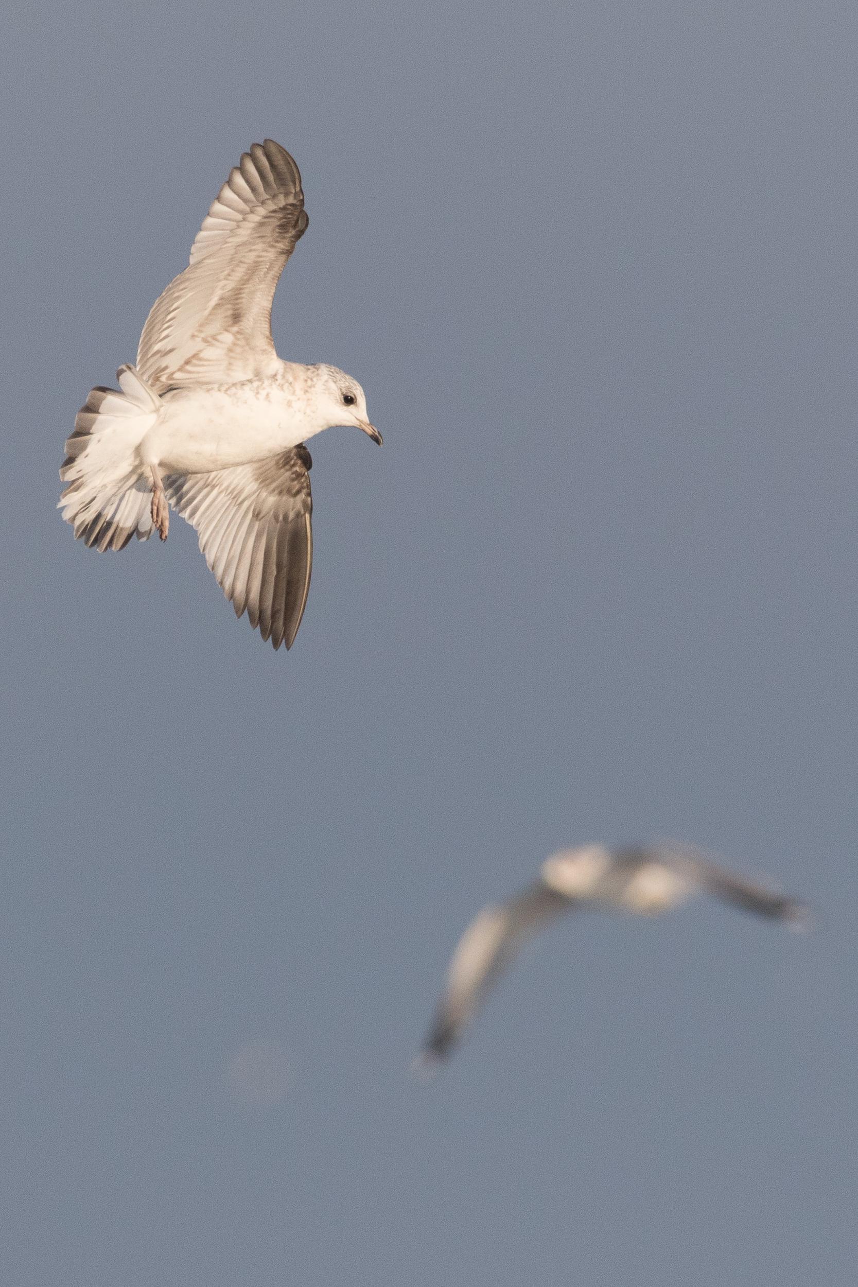 20170121-Common Gull 2CY-01.jpg