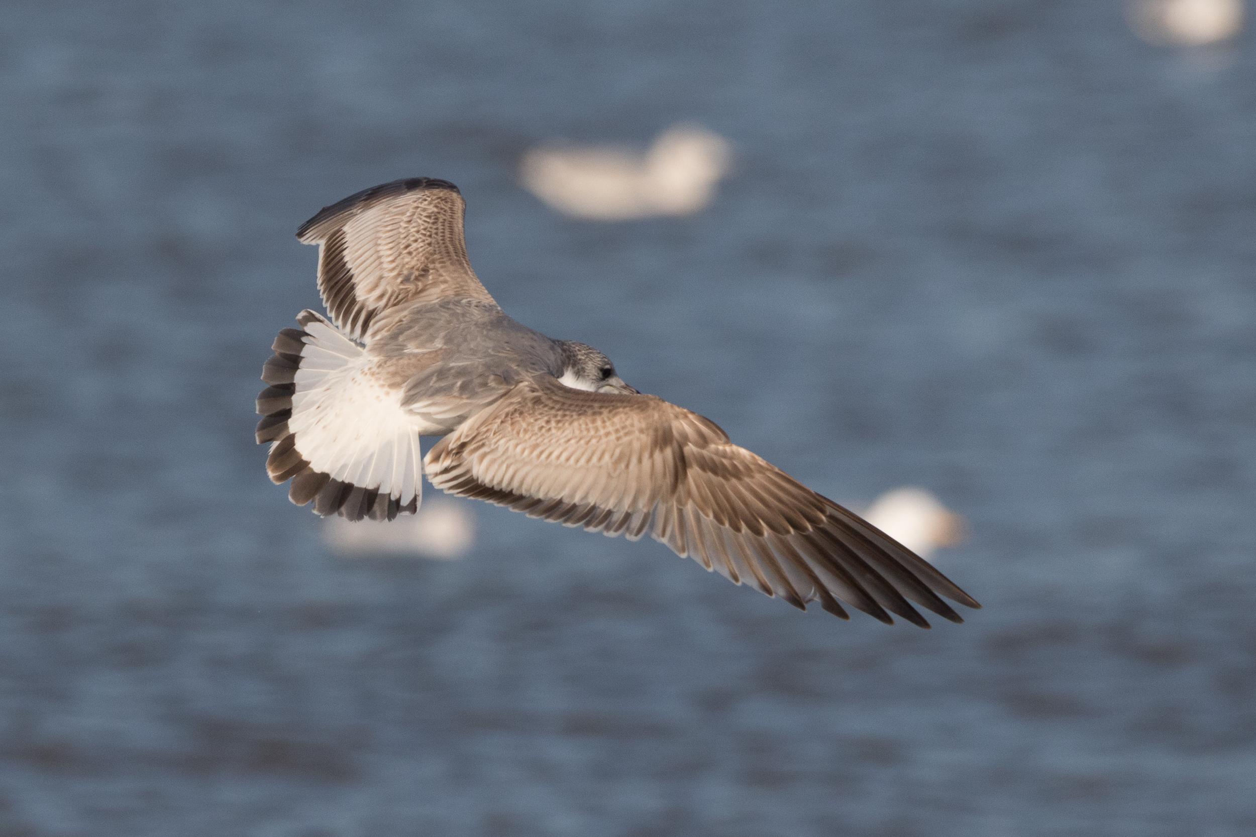 20170121-Common Gull 2CY-13.jpg