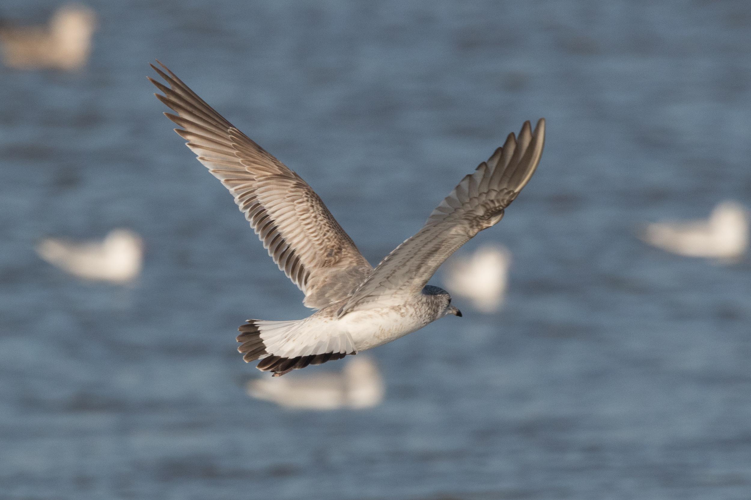 20170121-Common Gull 2CY-18.jpg