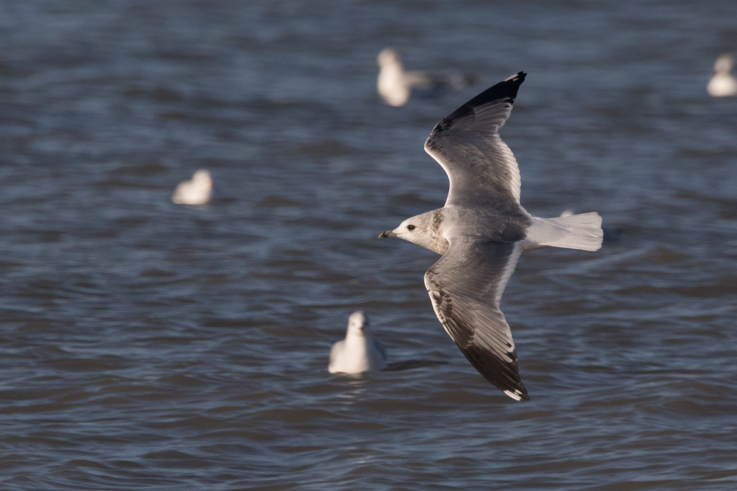 20170121-Common Gull 3CY-01.jpg