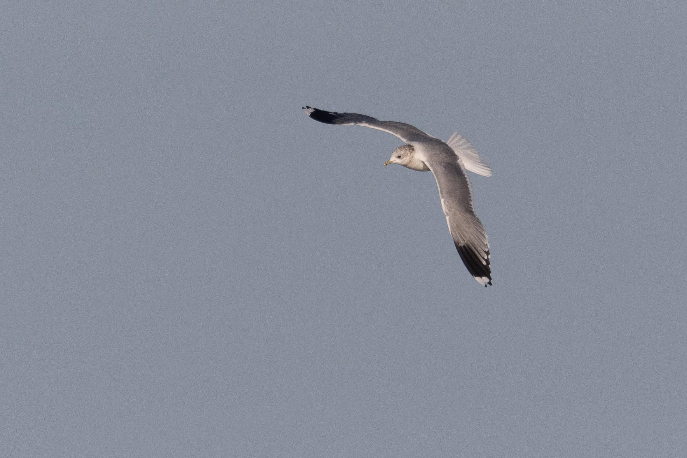 20170124-Common Gull Adult-126.jpg