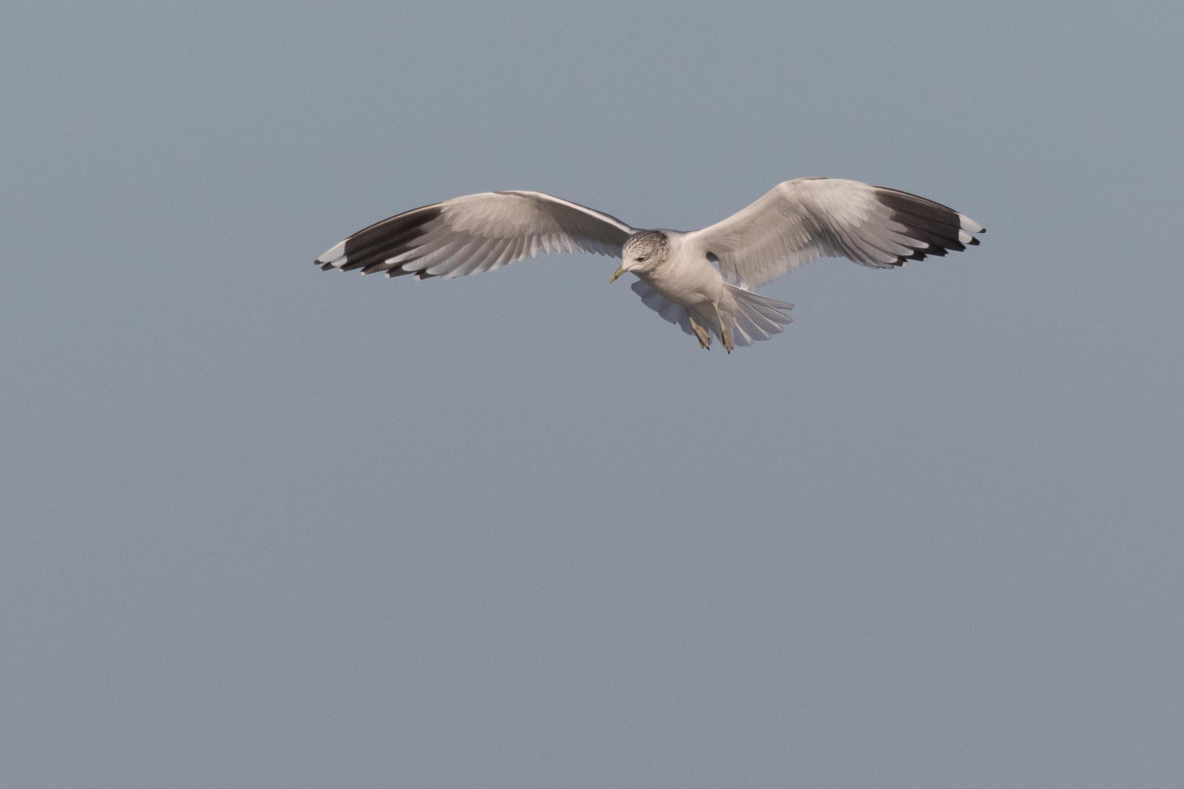 20170124-Common Gull Adult-127.jpg