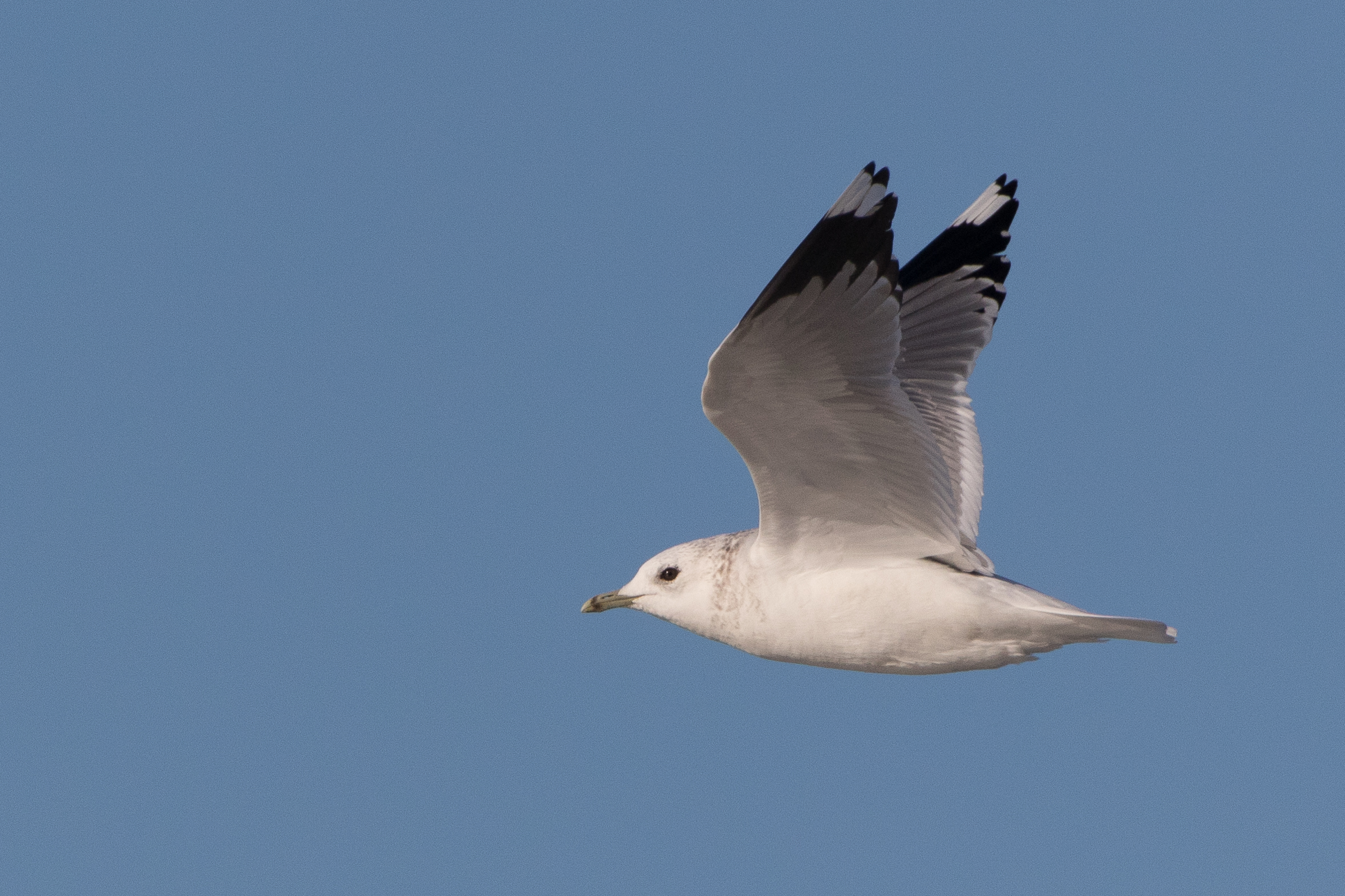 20170124-Common Gull Adult-128.jpg