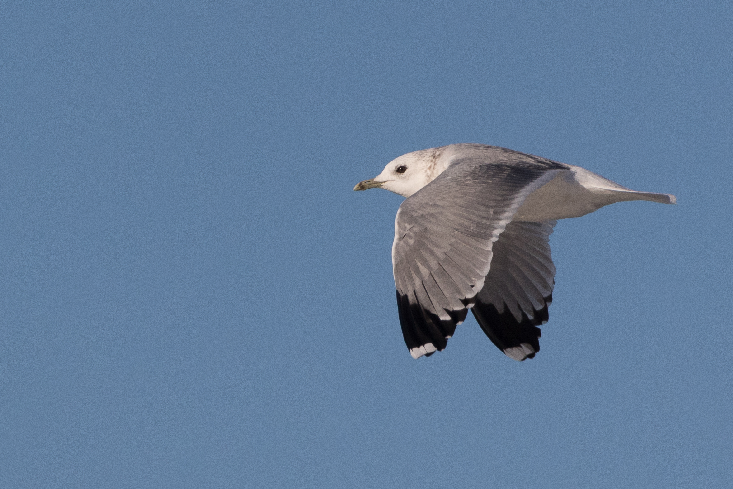 20170124-Common Gull Adult-129.jpg