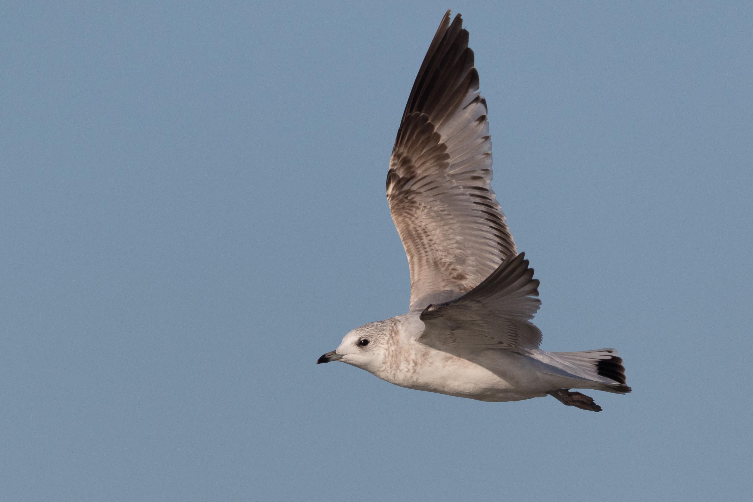20170124-Common Gull 2CY-28.jpg