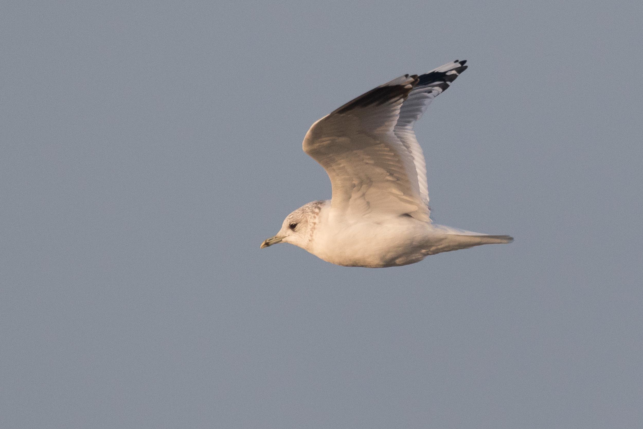 20170126-Common Gull Adult-131.jpg