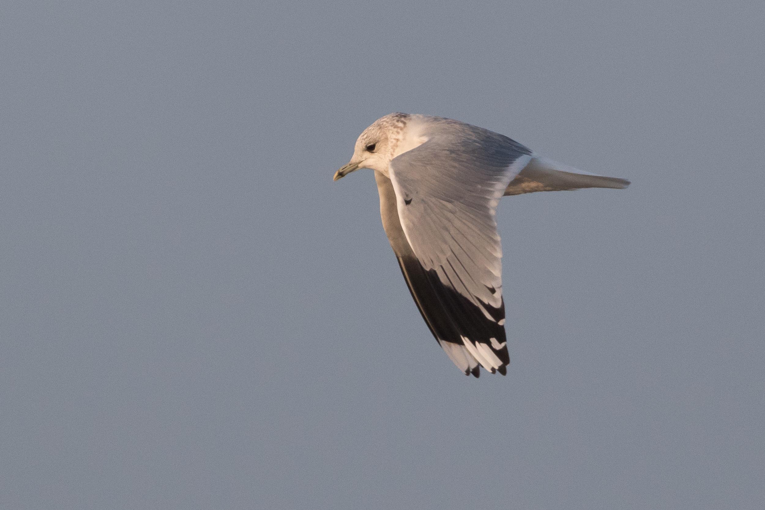 20170126-Common Gull Adult-130.jpg