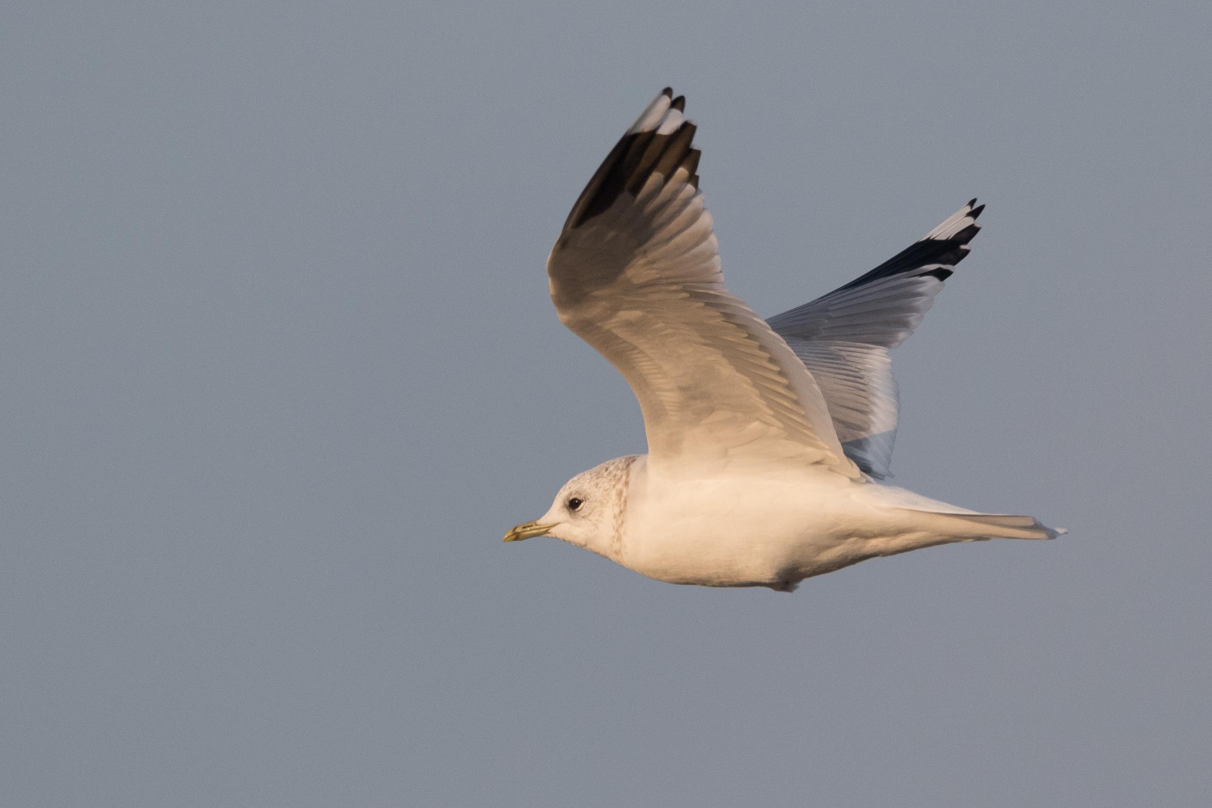 20170126-Common Gull Adult-132.jpg