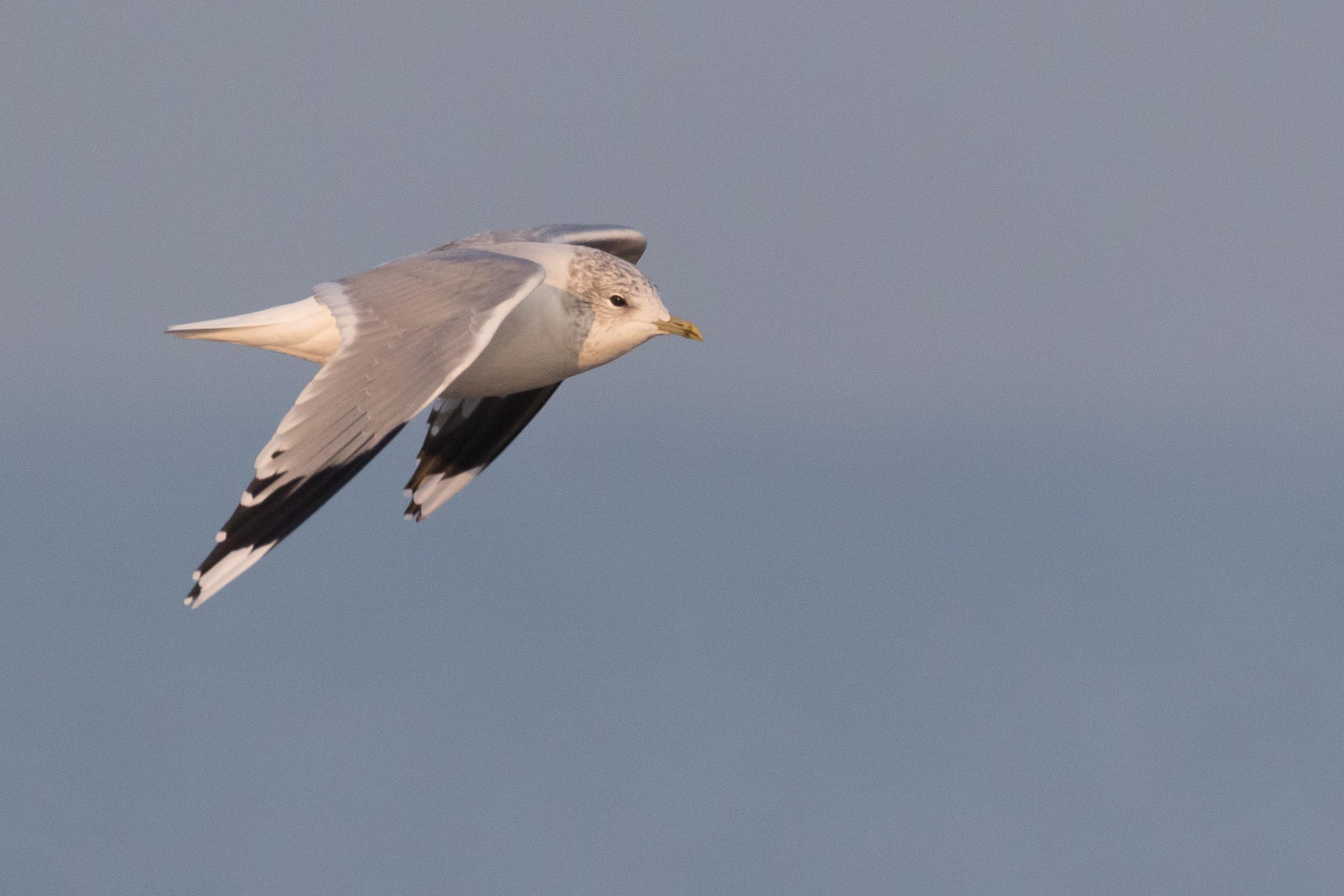 20170126-Common Gull Adult-133.jpg