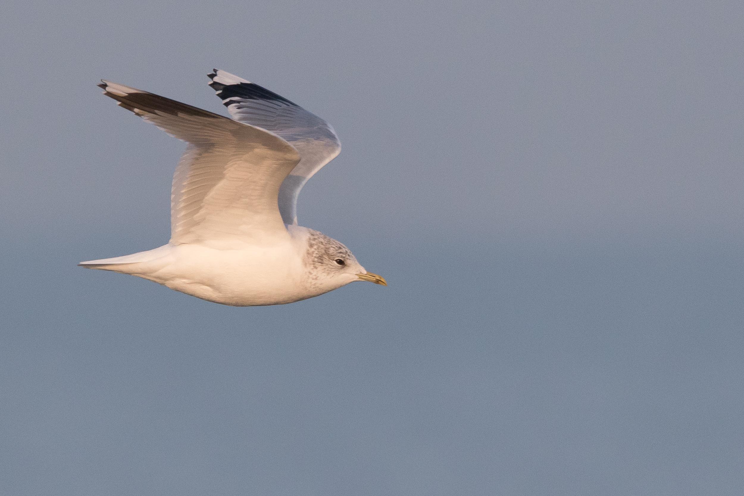 20170126-Common Gull Adult-134.jpg