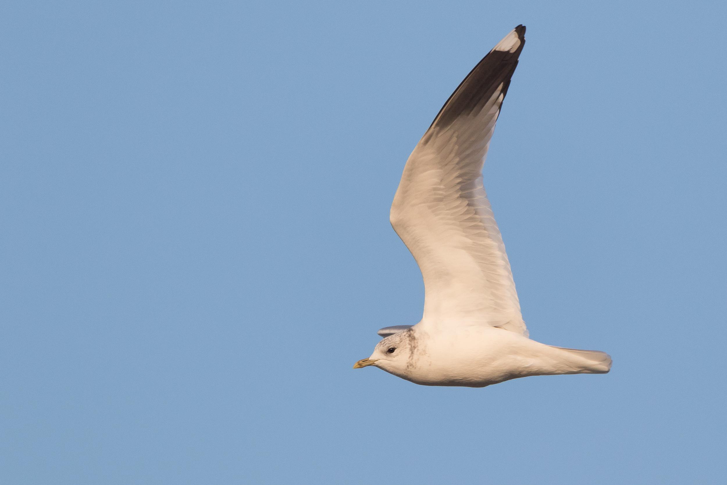 20170126-Common Gull Adult-137.jpg