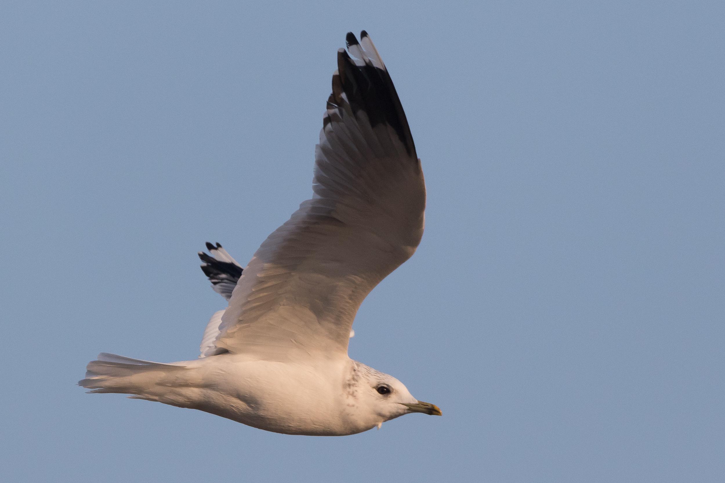 20170126-Common Gull Adult-136.jpg