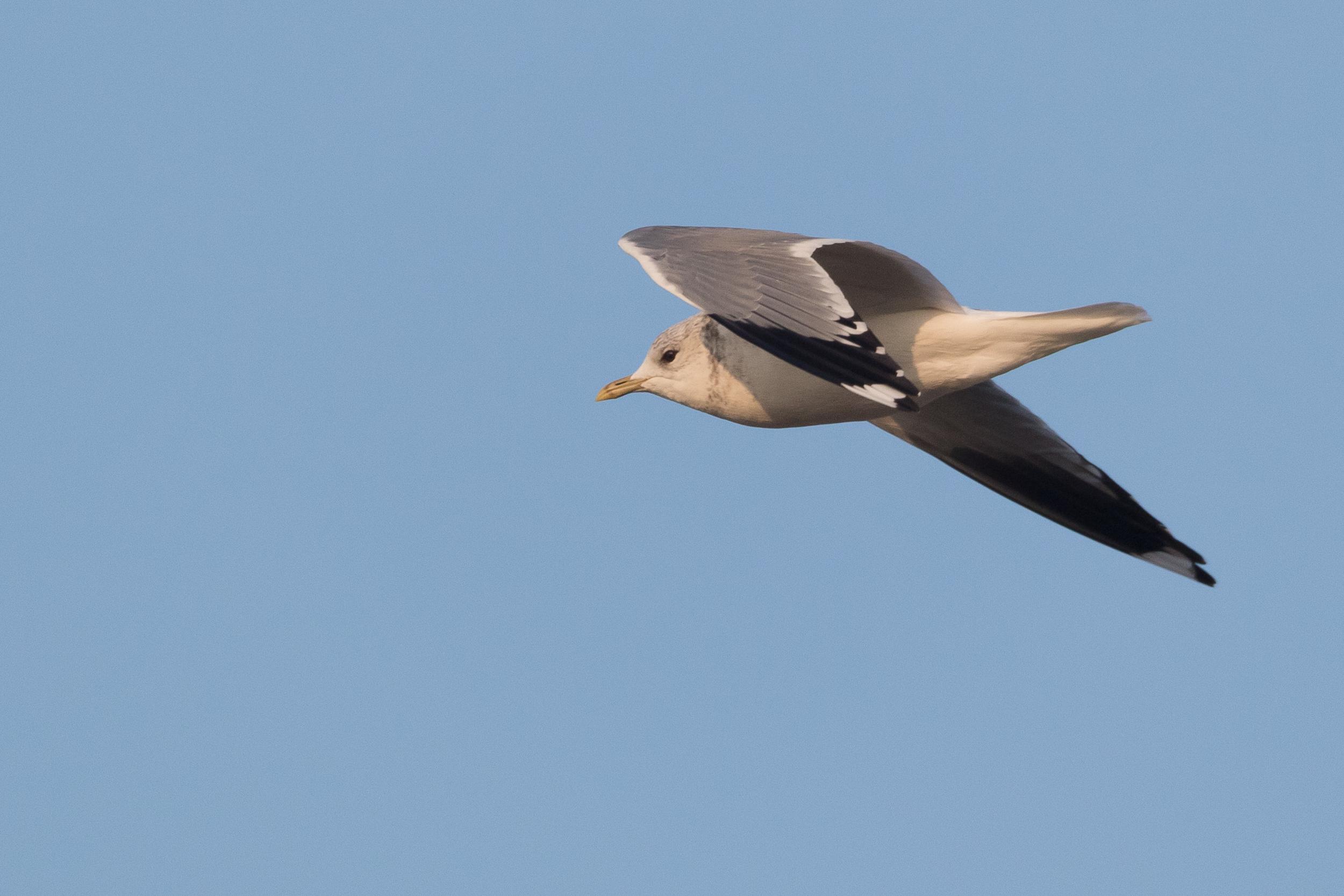 20170126-Common Gull Adult-138.jpg