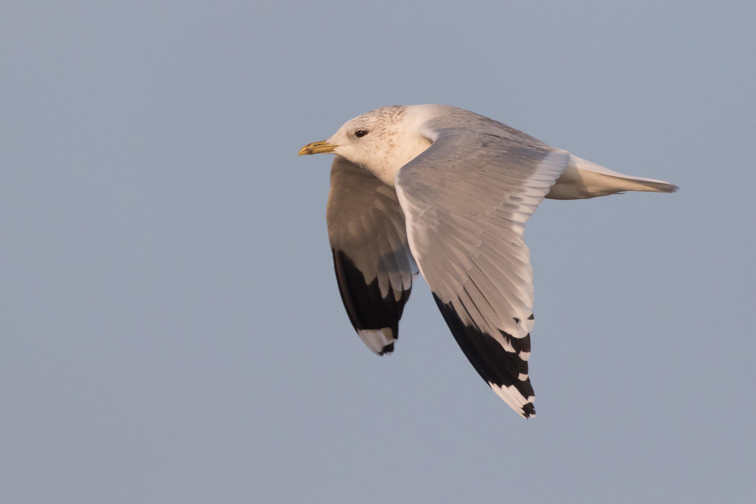 20170126-Common Gull Adult-139.jpg