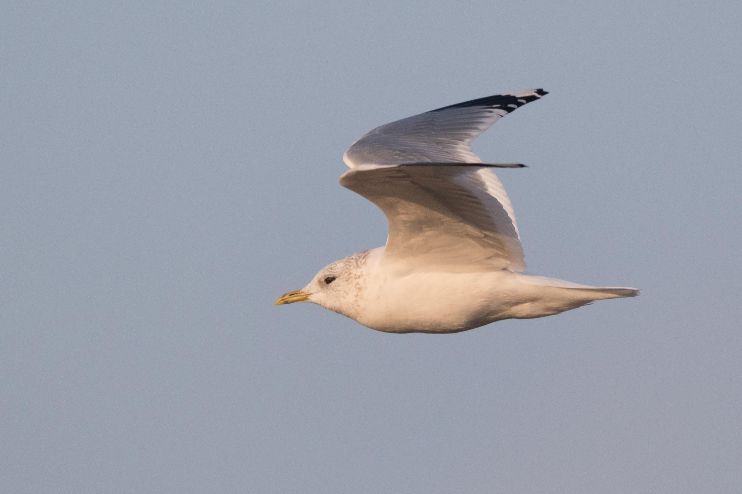 20170126-Common Gull Adult-140.jpg