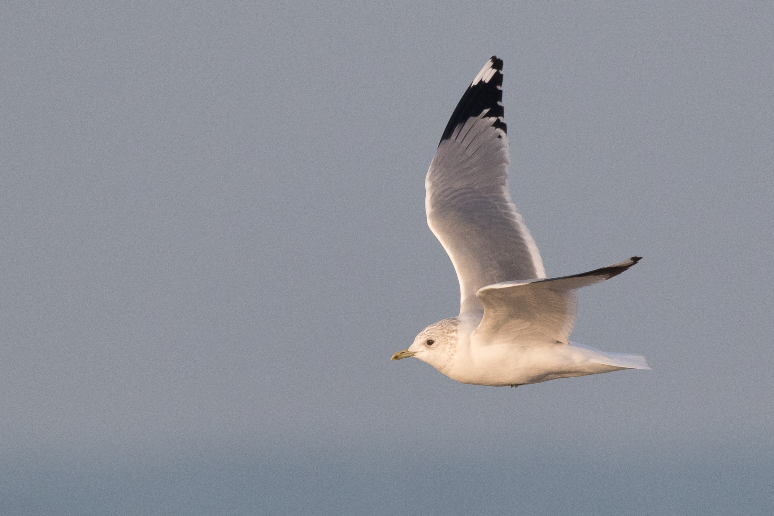 20170126-Common Gull Adult-141.jpg