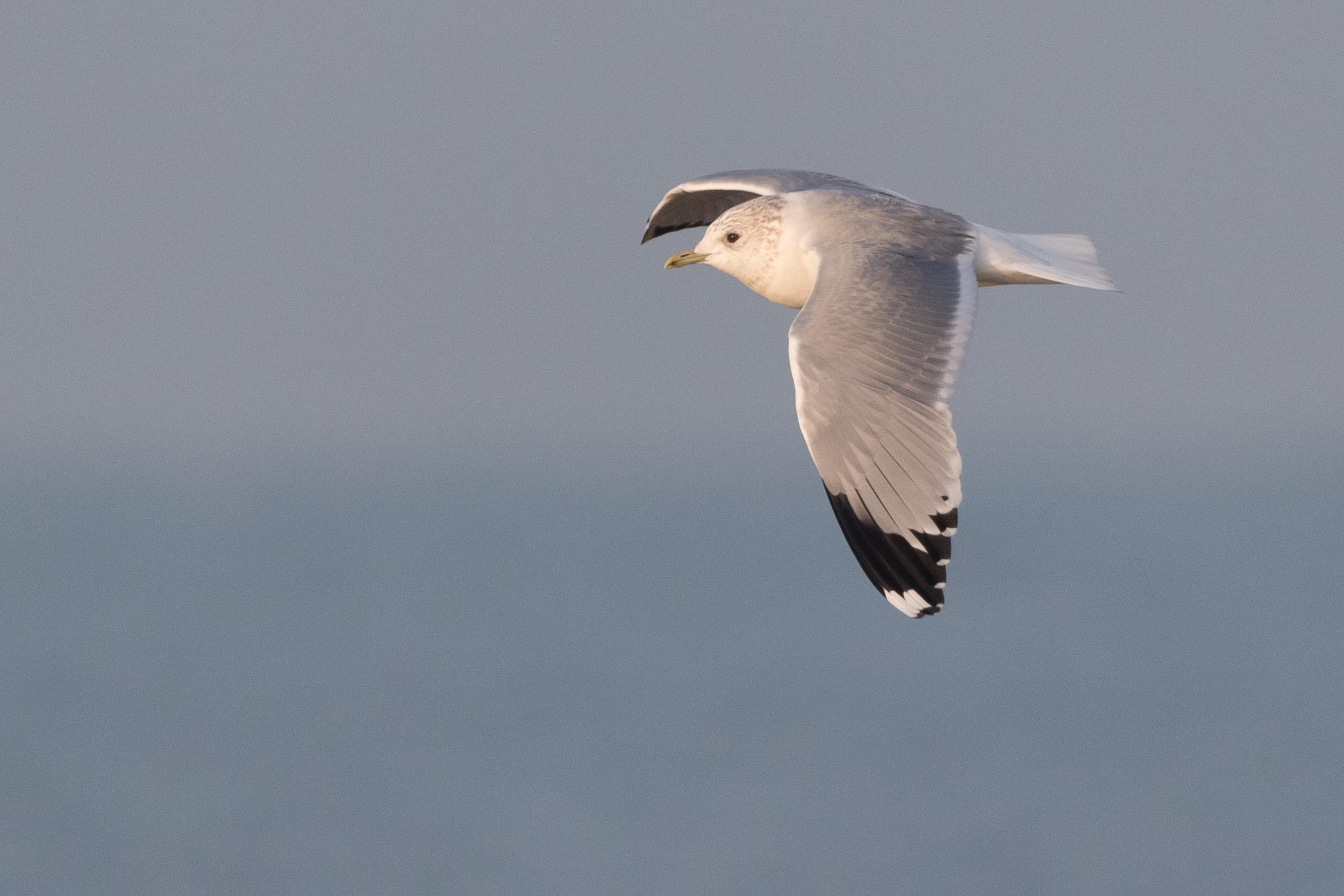 20170126-Common Gull Adult-142.jpg