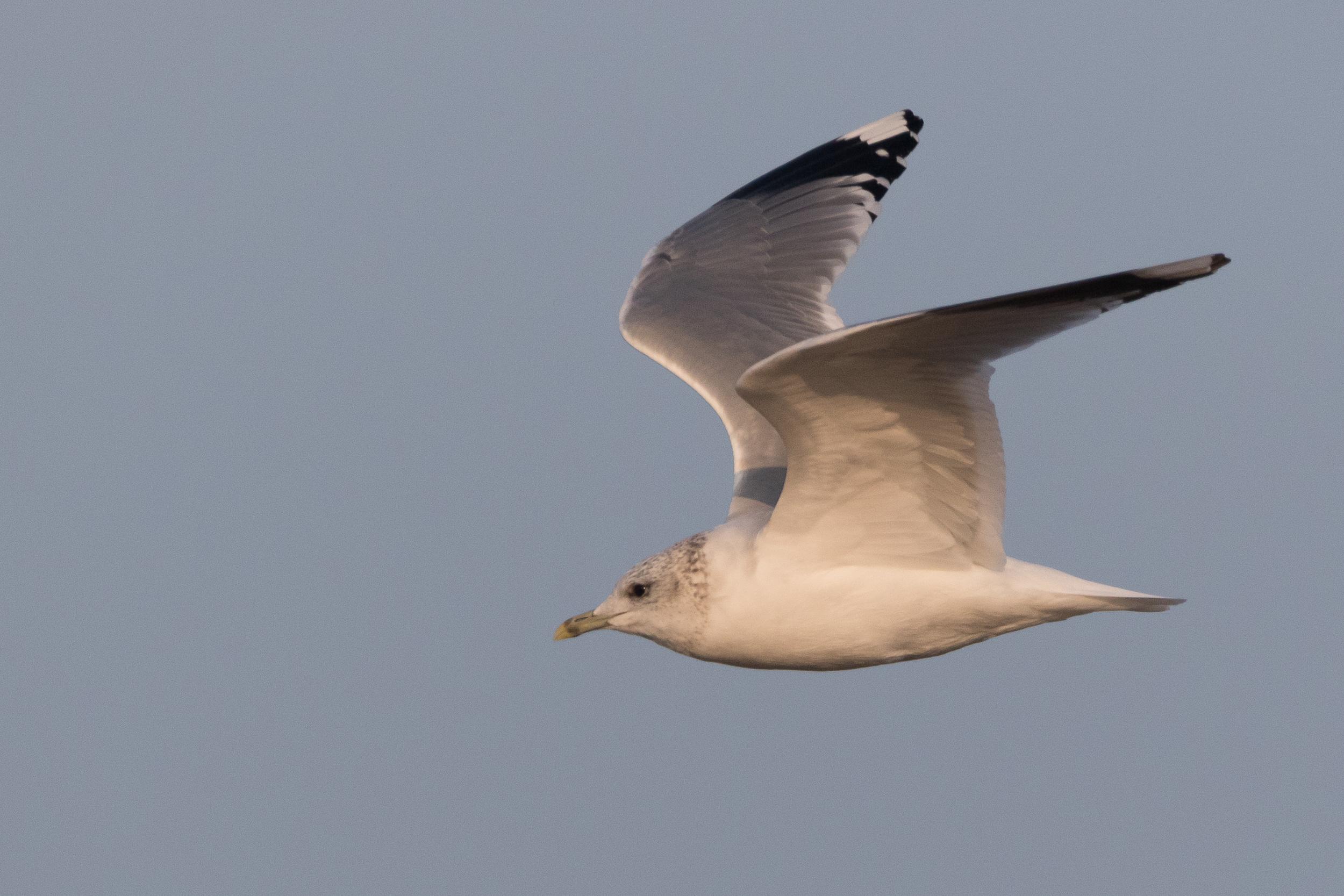 20170126-Common Gull Adult-143.jpg