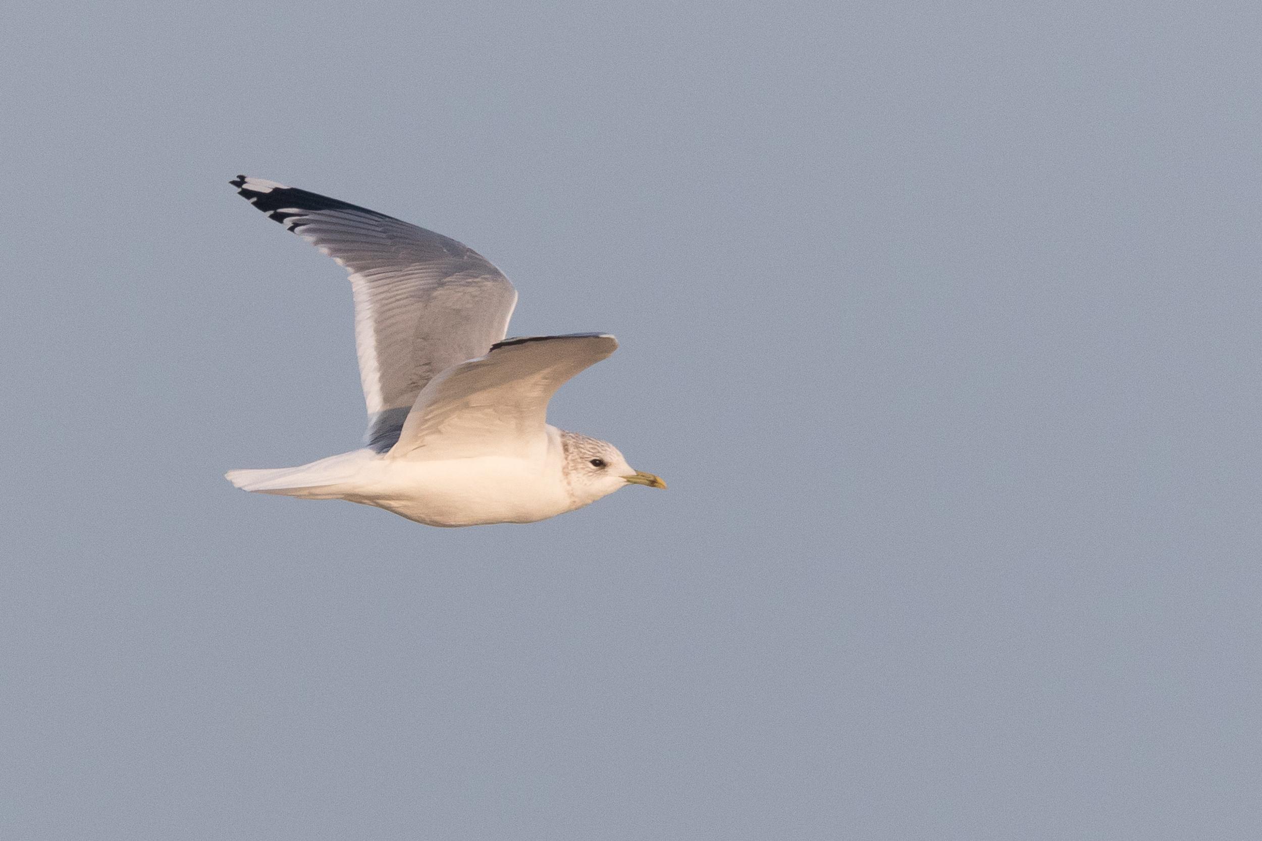 20170126-Common Gull Adult-146.jpg
