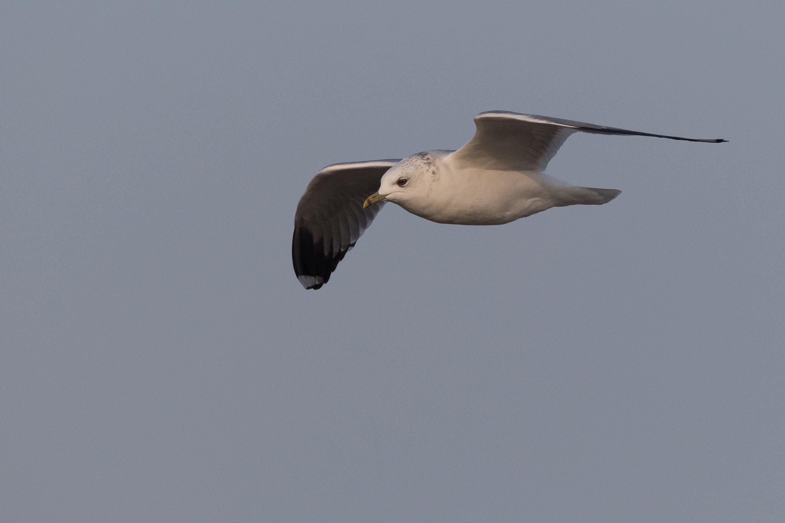 20170126-Common Gull Adult-147.jpg