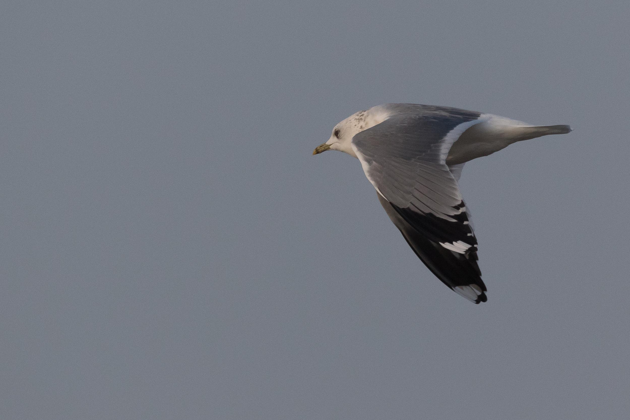 20170126-Common Gull Adult-149.jpg