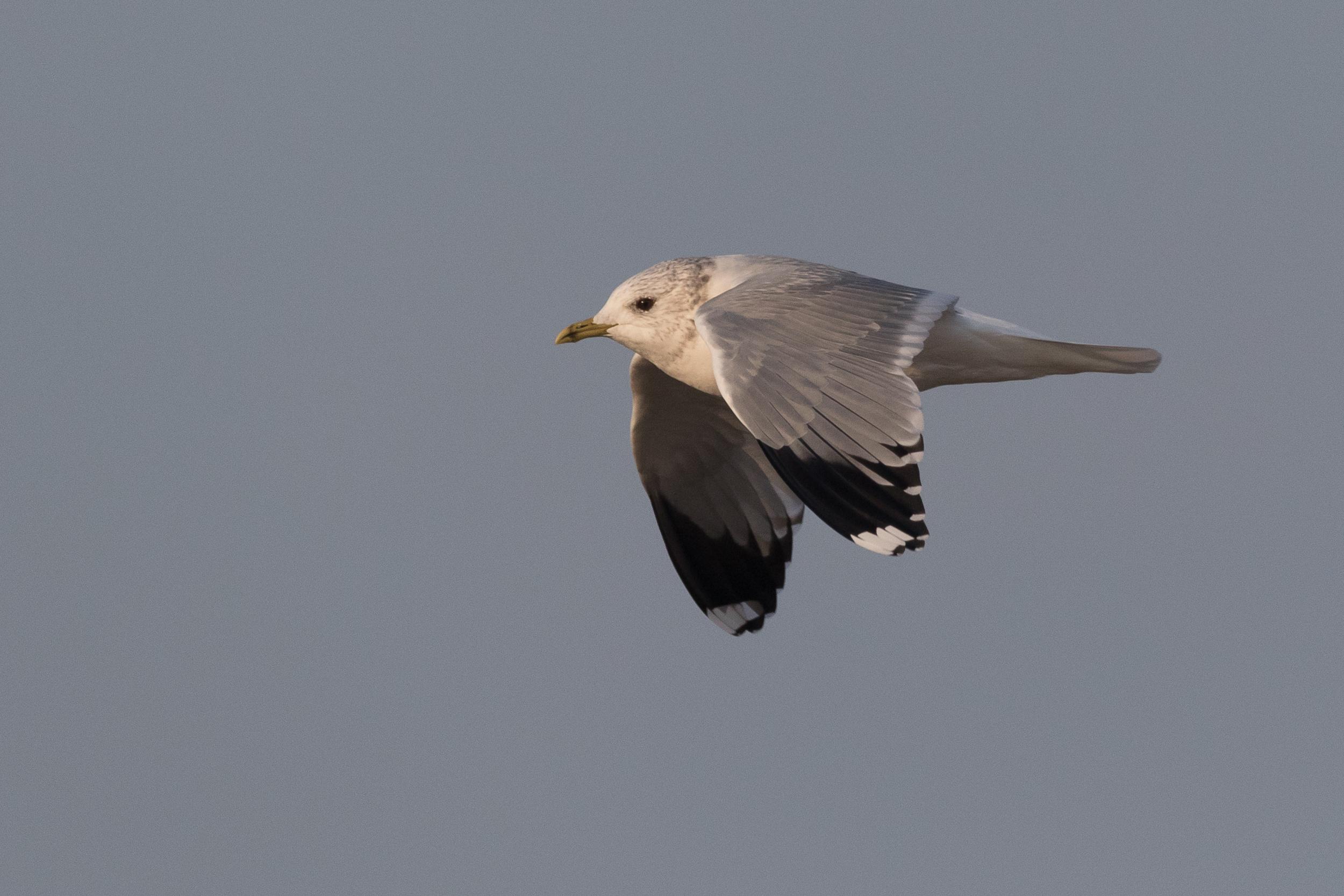 20170126-Common Gull Adult-151.jpg