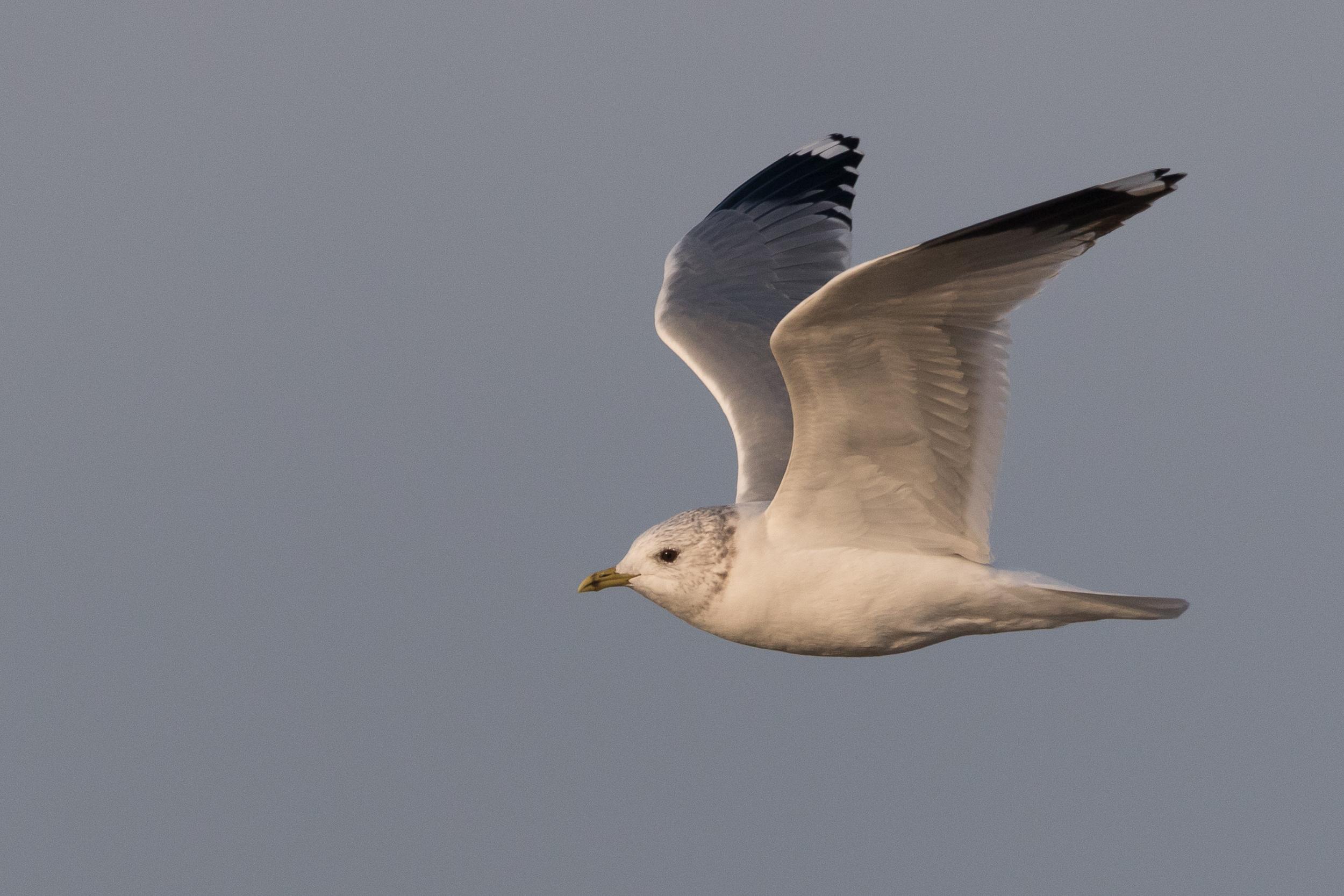 20170126-Common Gull Adult-150.jpg