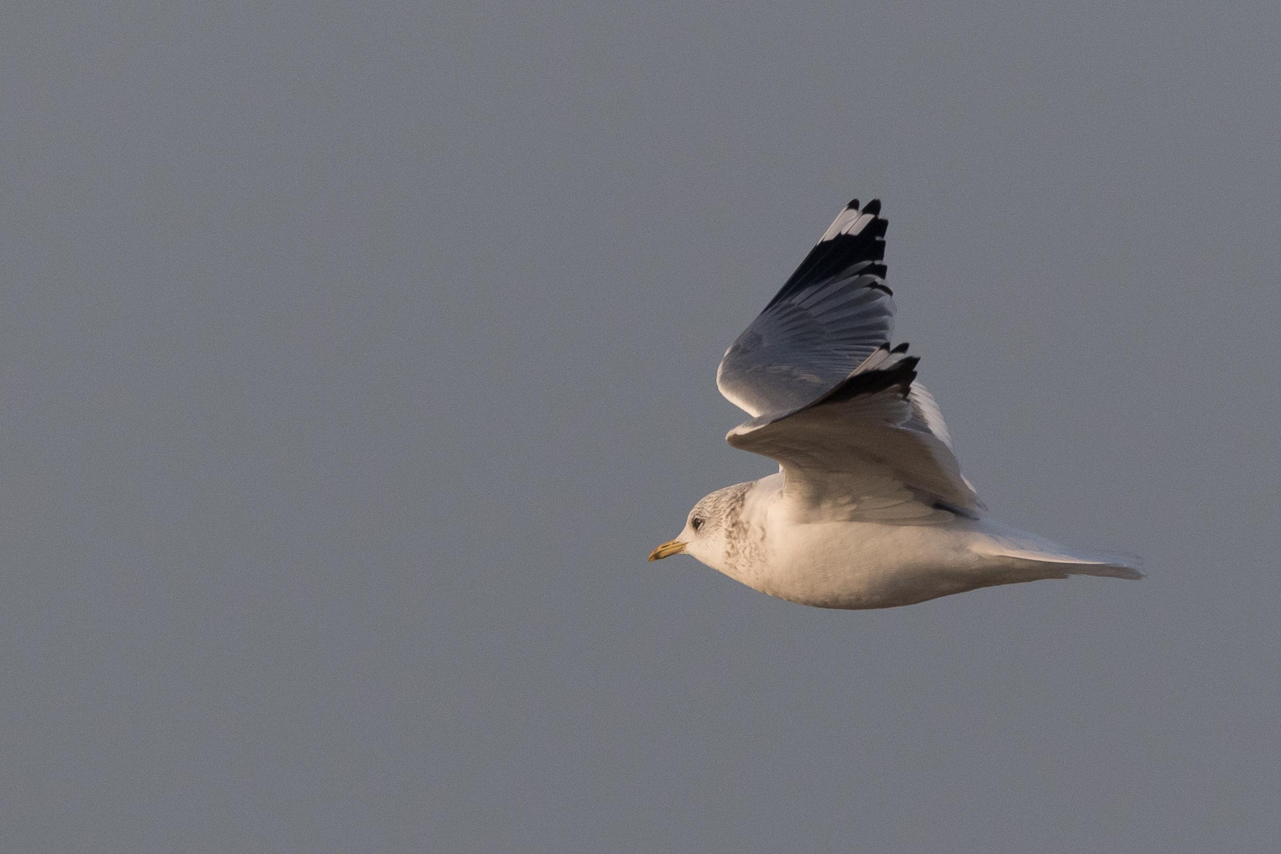 20170126-Common Gull Adult-152.jpg