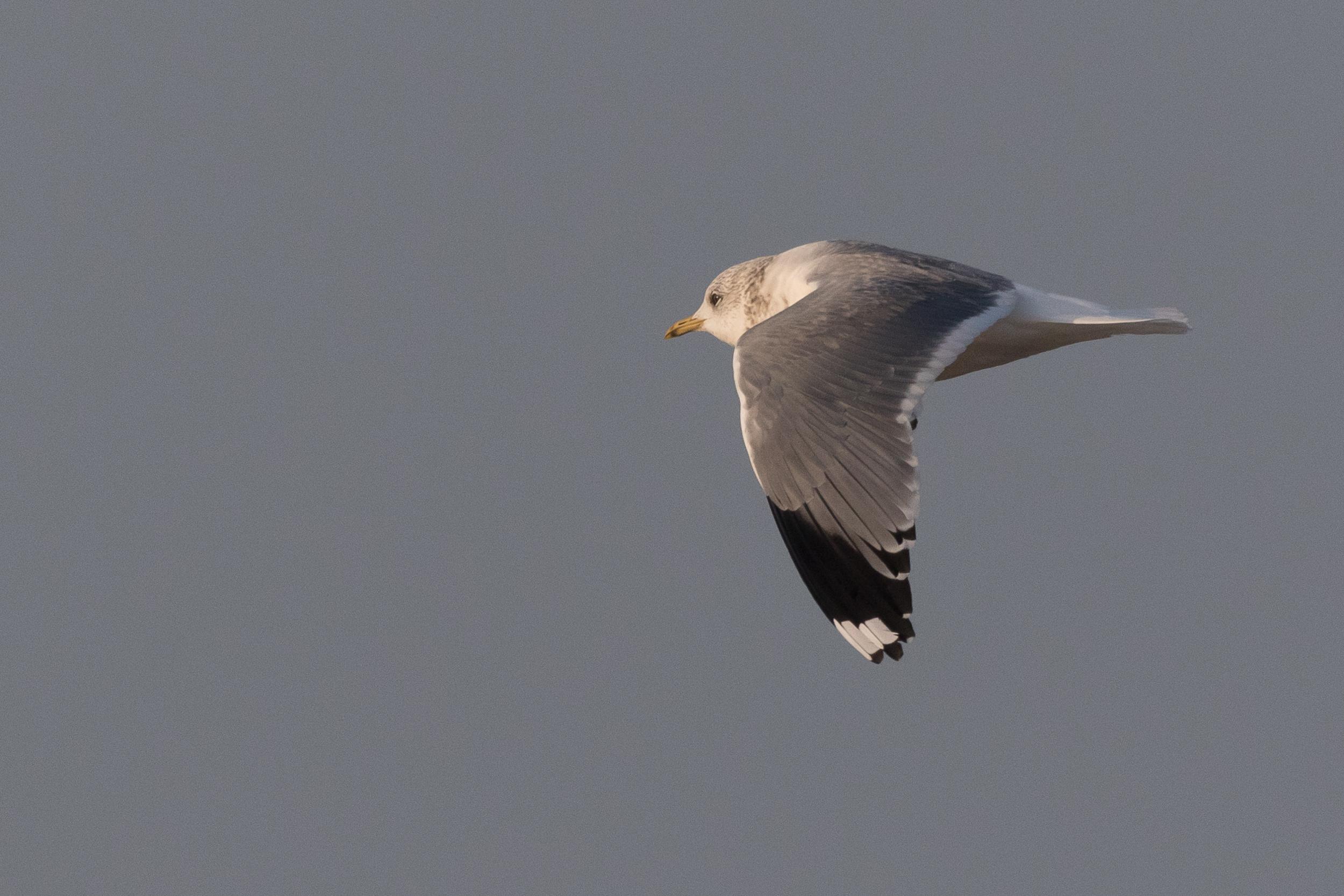 20170126-Common Gull Adult-153.jpg