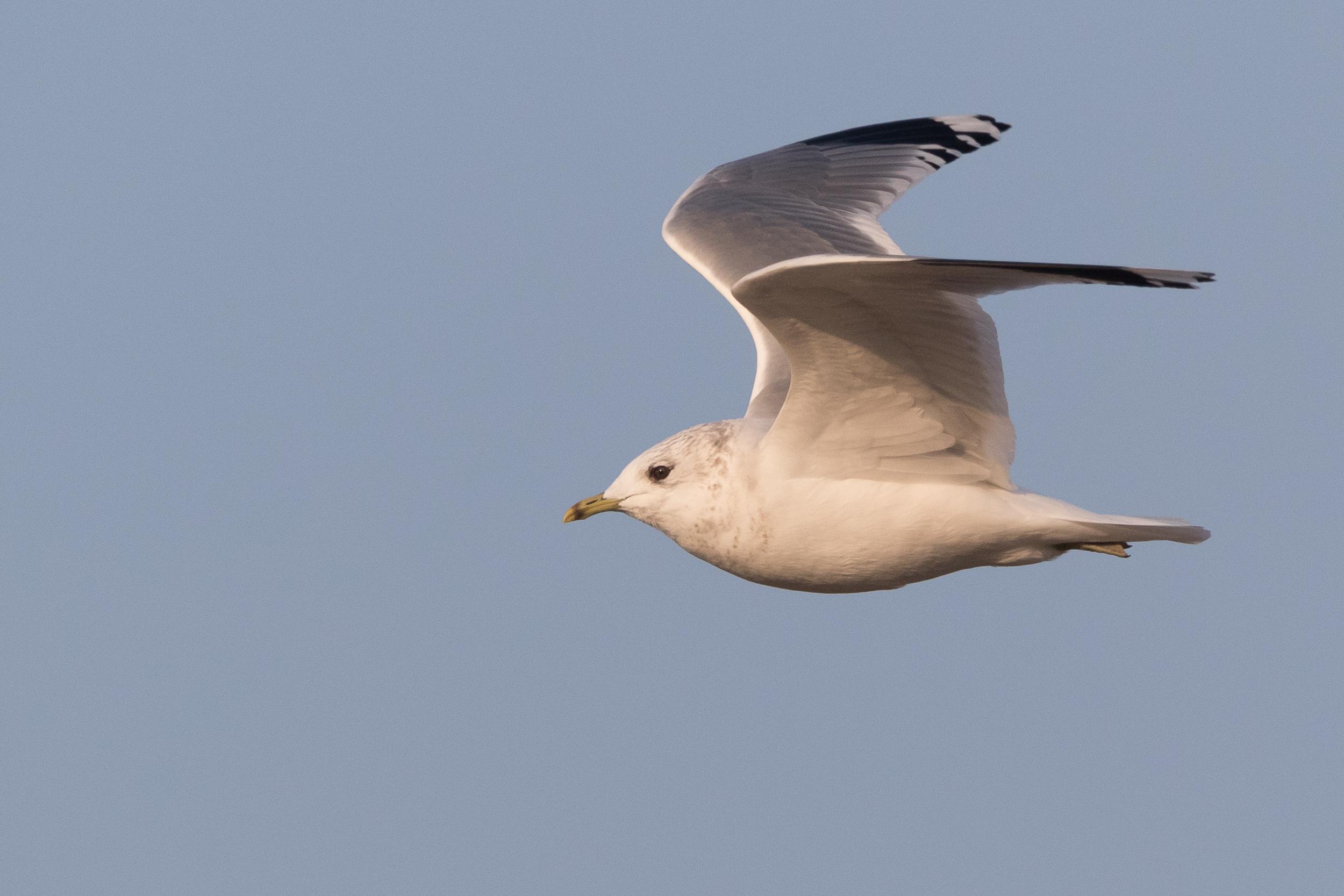 20170126-Common Gull Adult-155.jpg