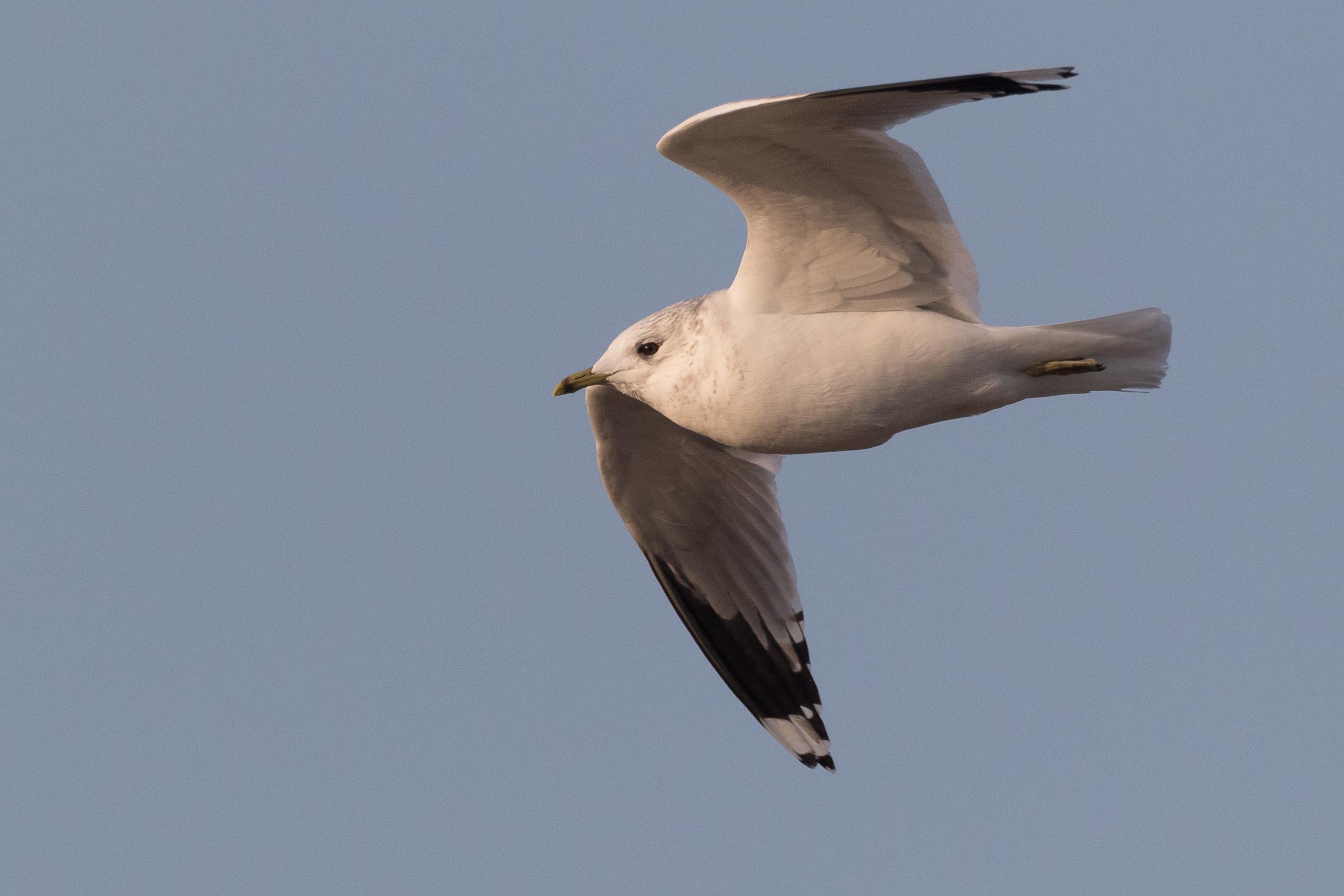 20170126-Common Gull Adult-156.jpg