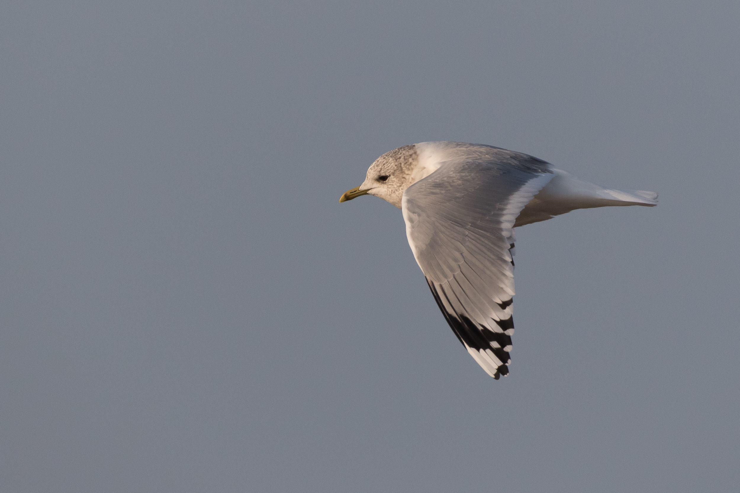 20170126-Common Gull Adult-158.jpg