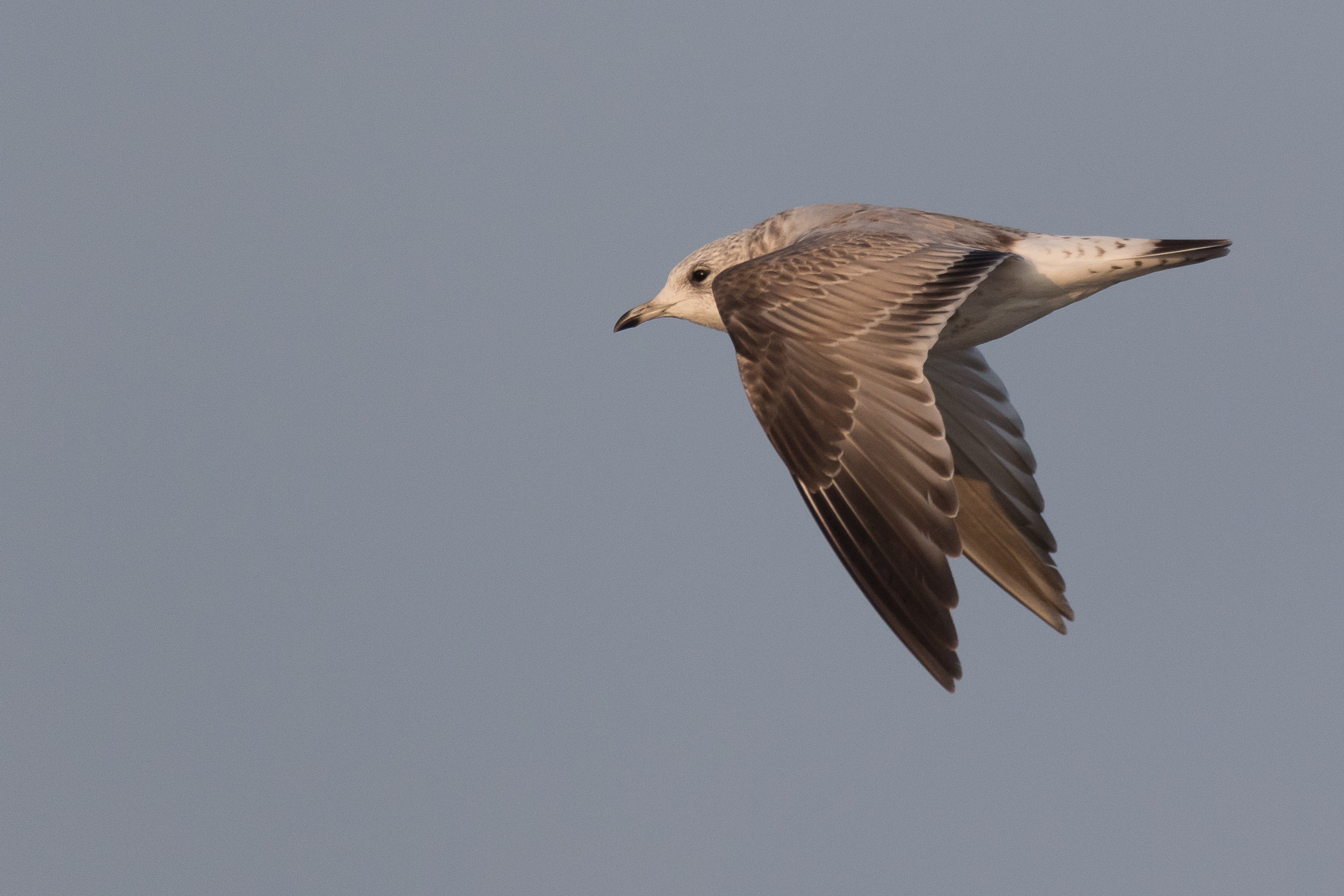 20170126-Common Gull 2CY-31.jpg