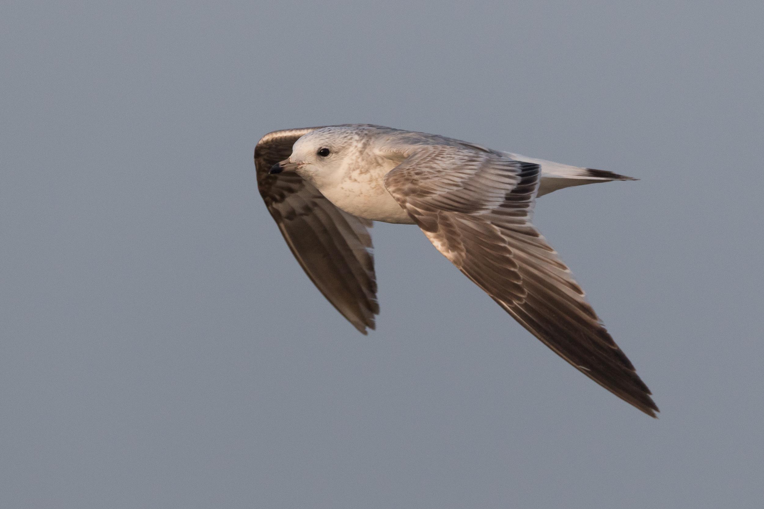 20170126-Common Gull 2CY-33.jpg