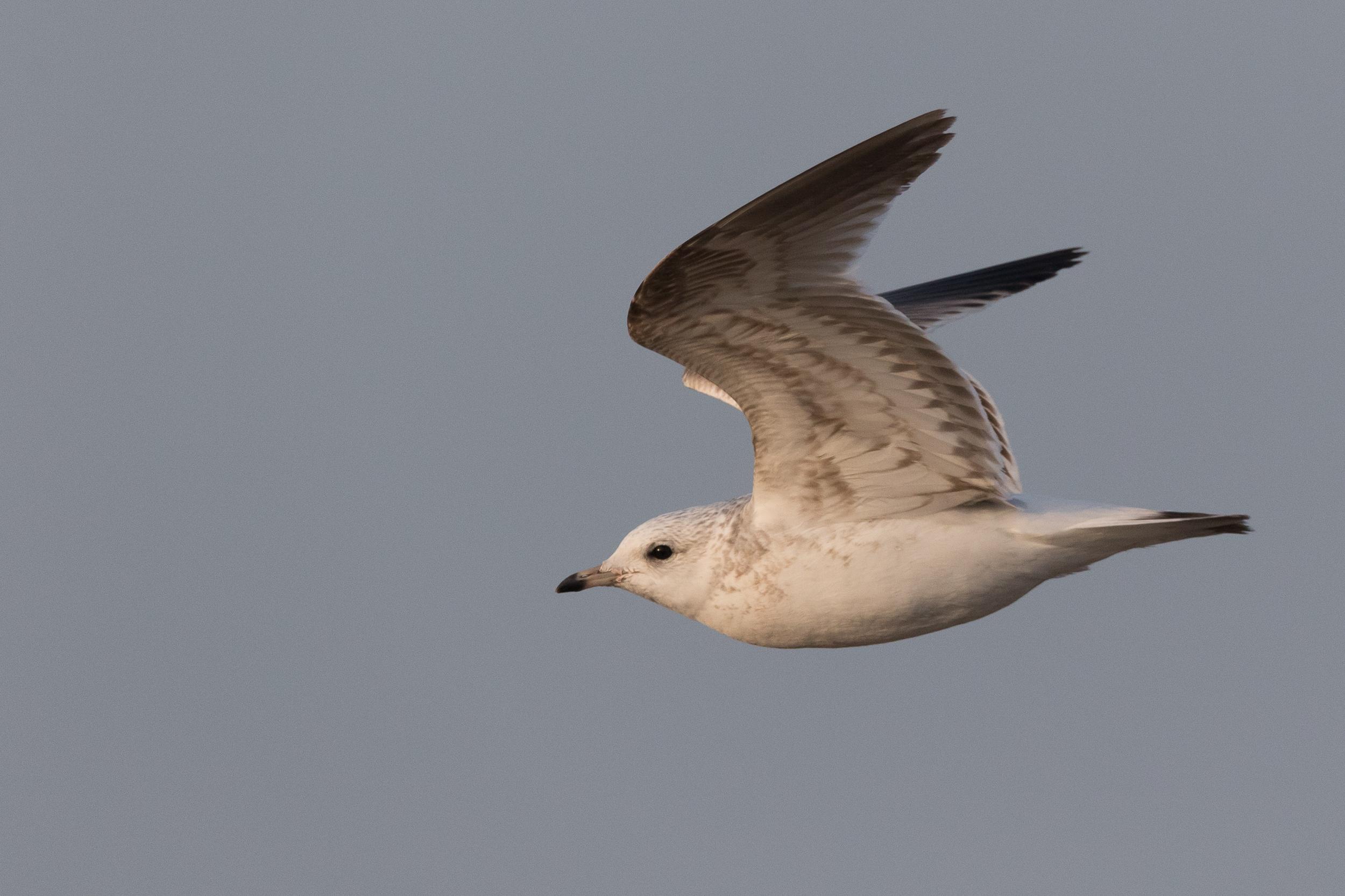 20170126-Common Gull 2CY-35.jpg