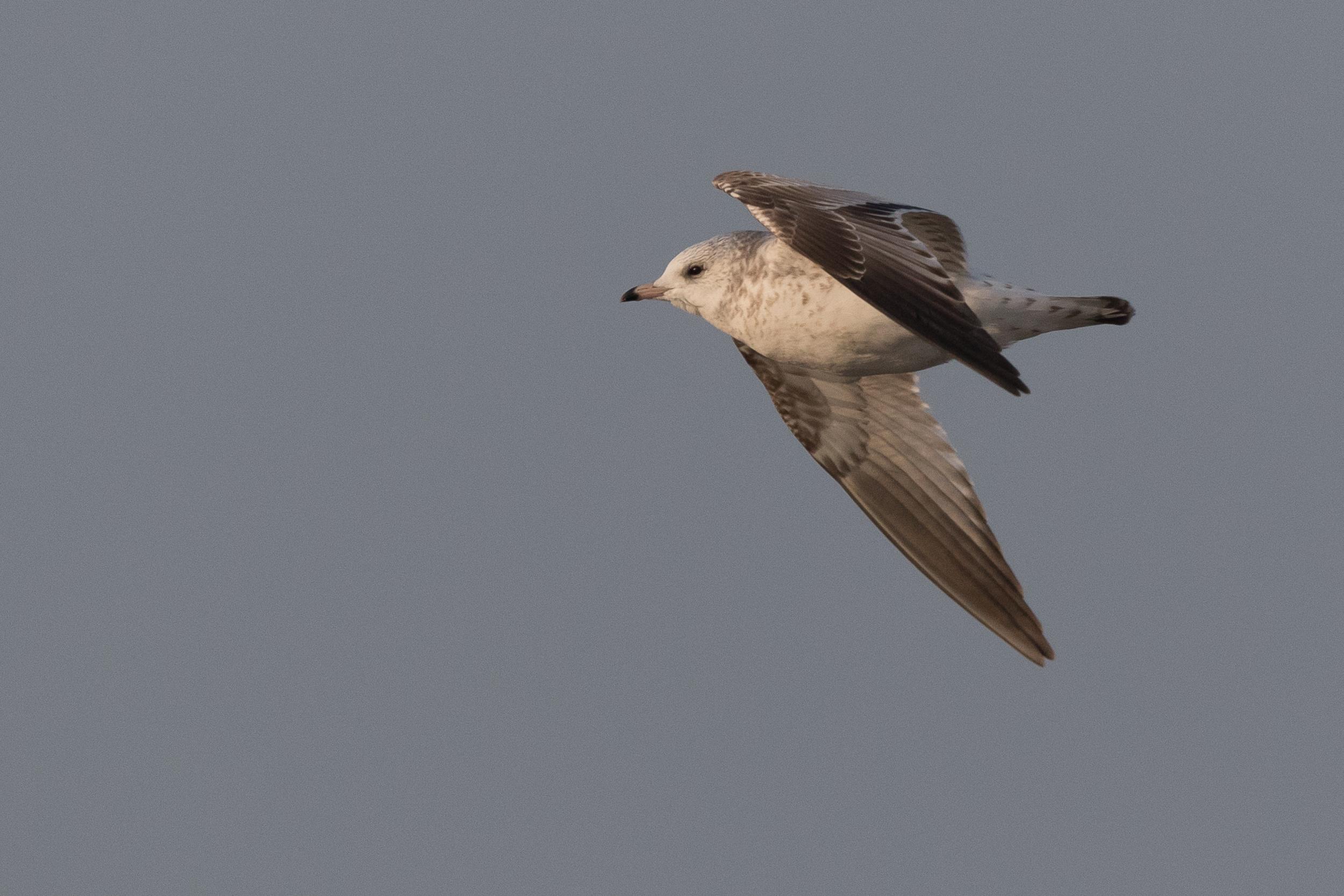 20170126-Common Gull 2CY-36.jpg