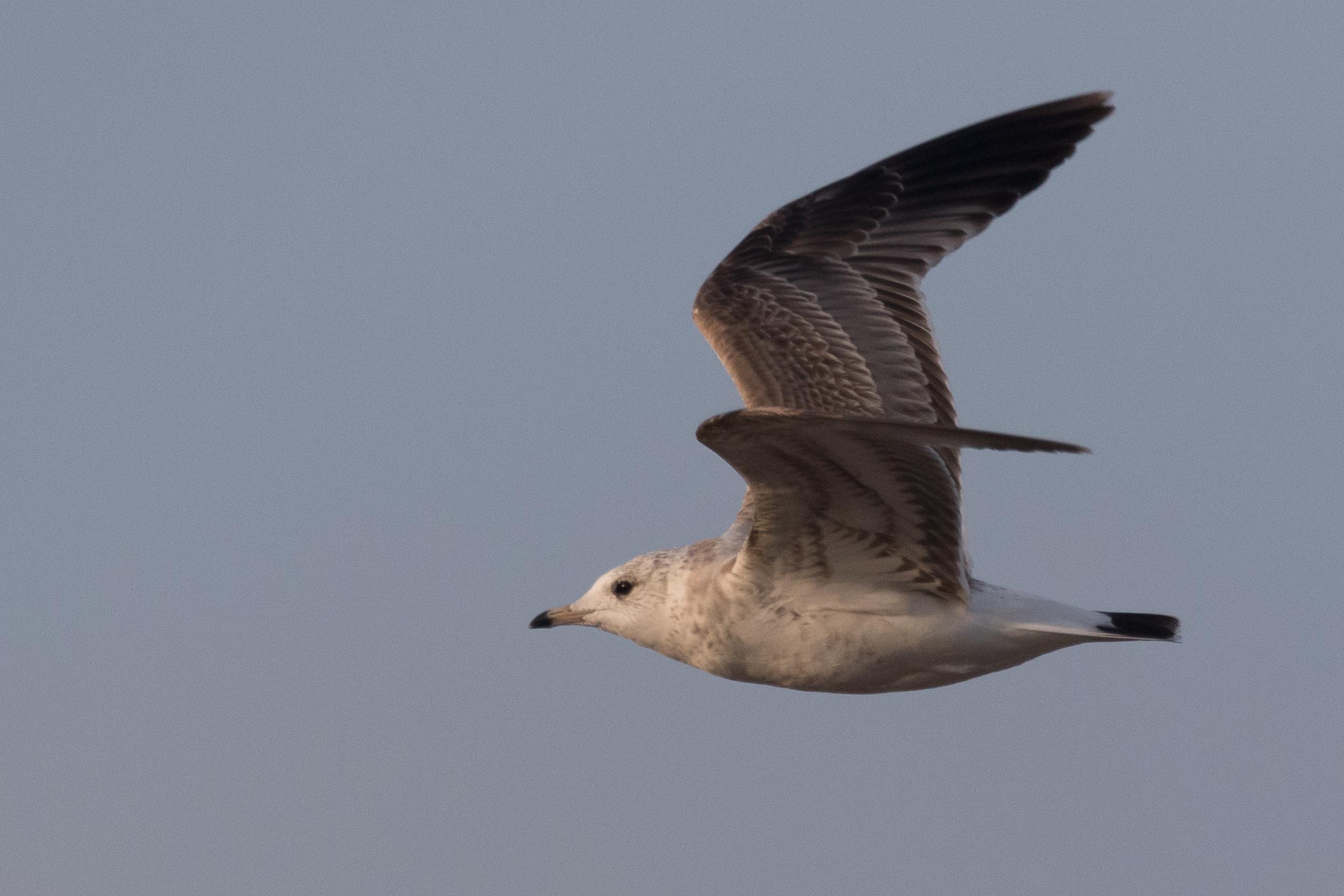 20170126-Common Gull 2CY-39.jpg