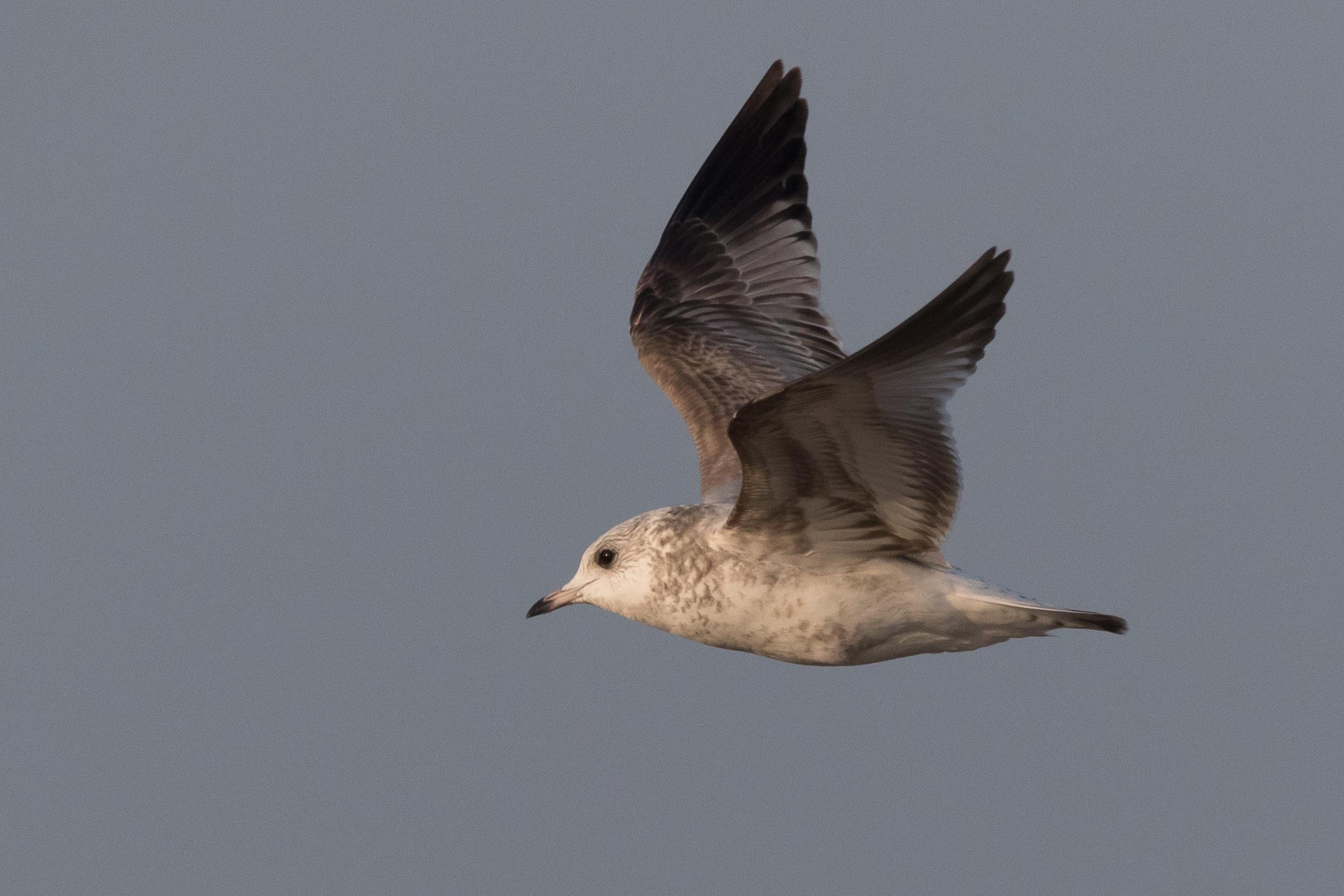 20170126-Common Gull 2CY-41.jpg