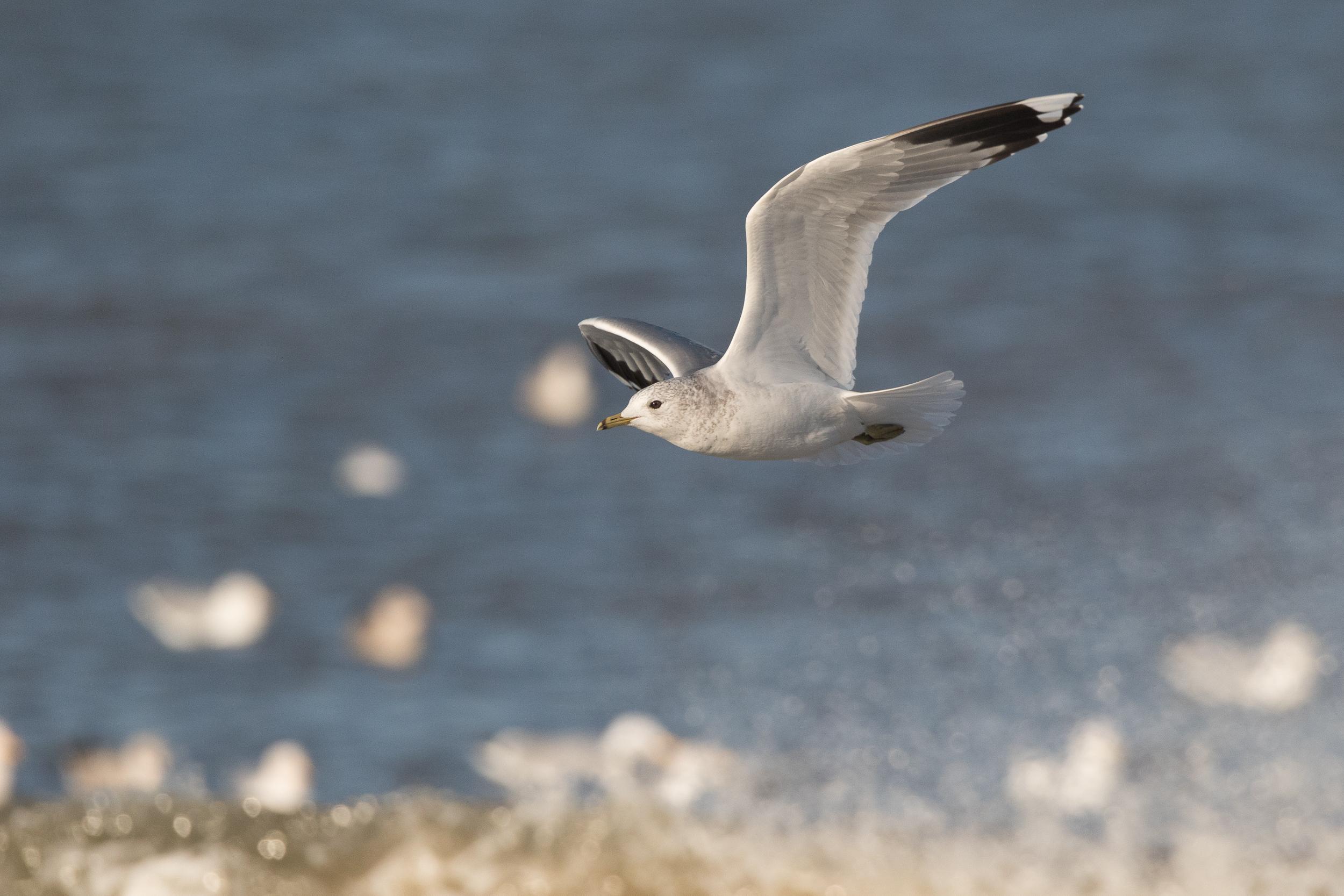 20170121-Common Gull Adult-160.jpg
