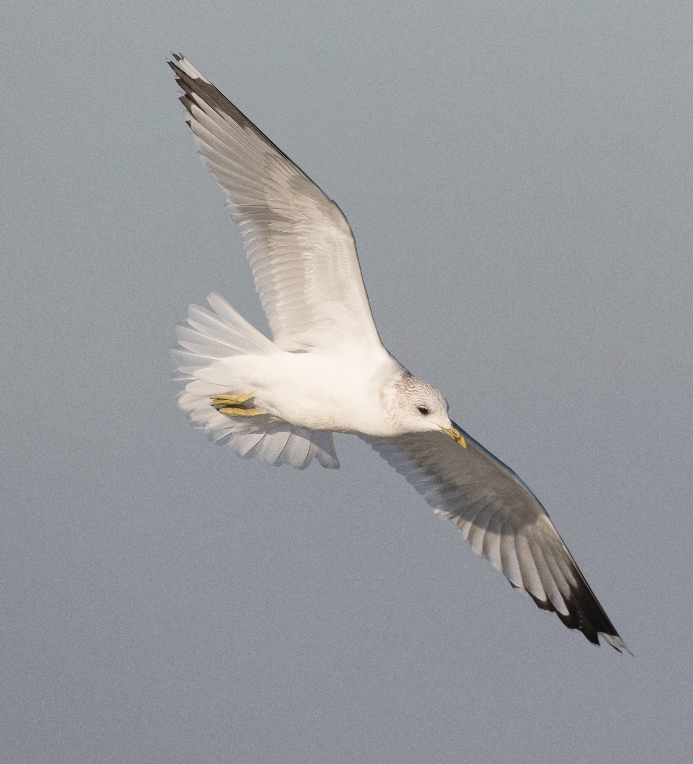 20170121-Common Gull Adult-168.jpg
