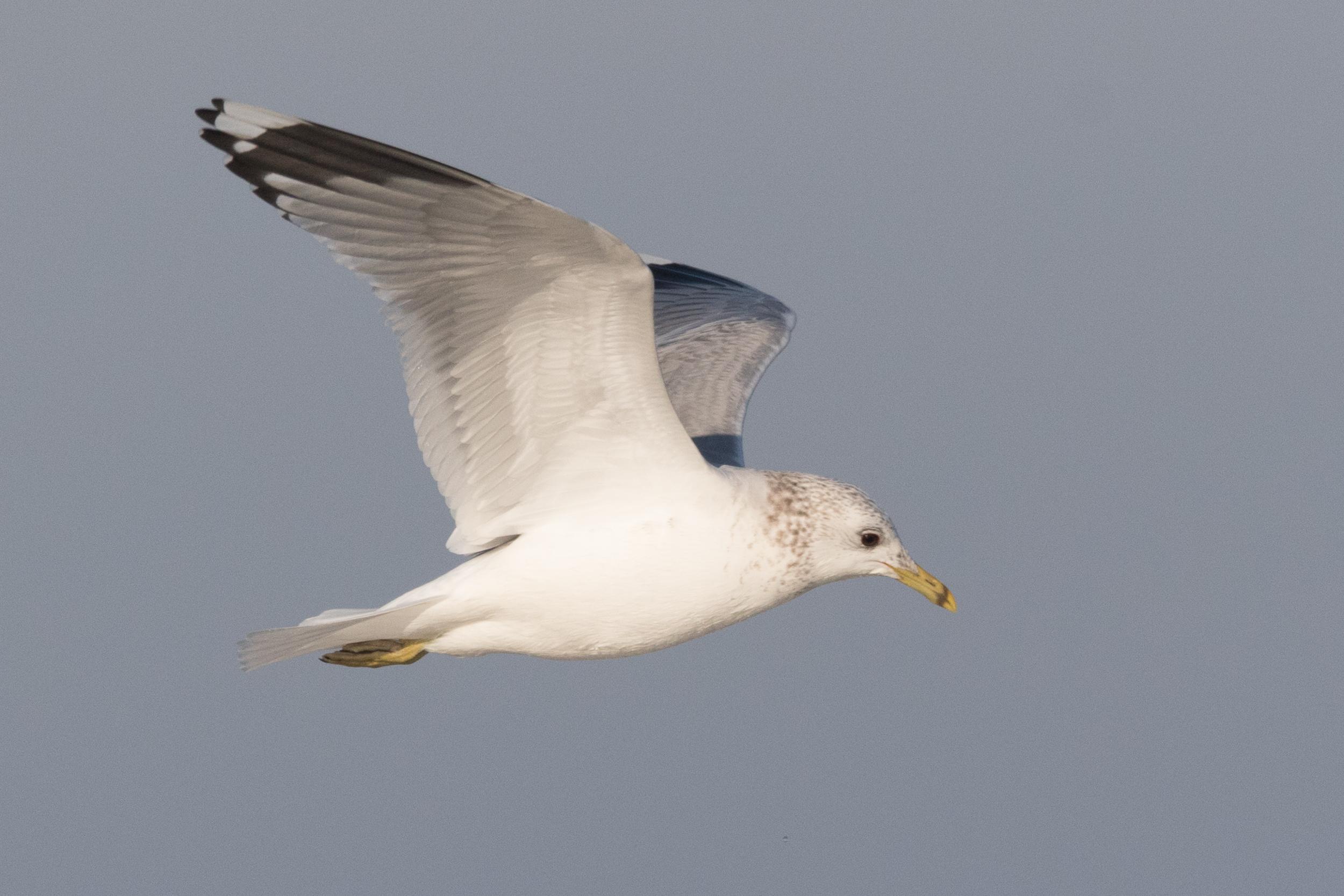 20170121-Common Gull Adult-166.jpg